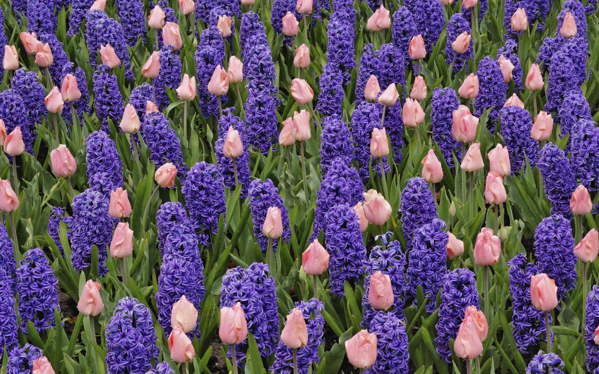 8495 скачать обои Растения, Цветы, Фон, Тюльпаны, Гиацинт - заставки и картинки бесплатно