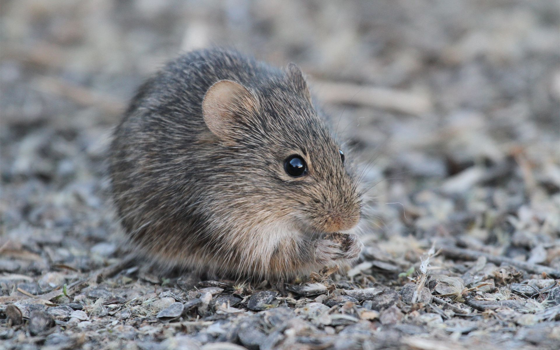 52401 download wallpaper Animals, Mouse, Rodent, Gnaws, Eats, Bear screensavers and pictures for free