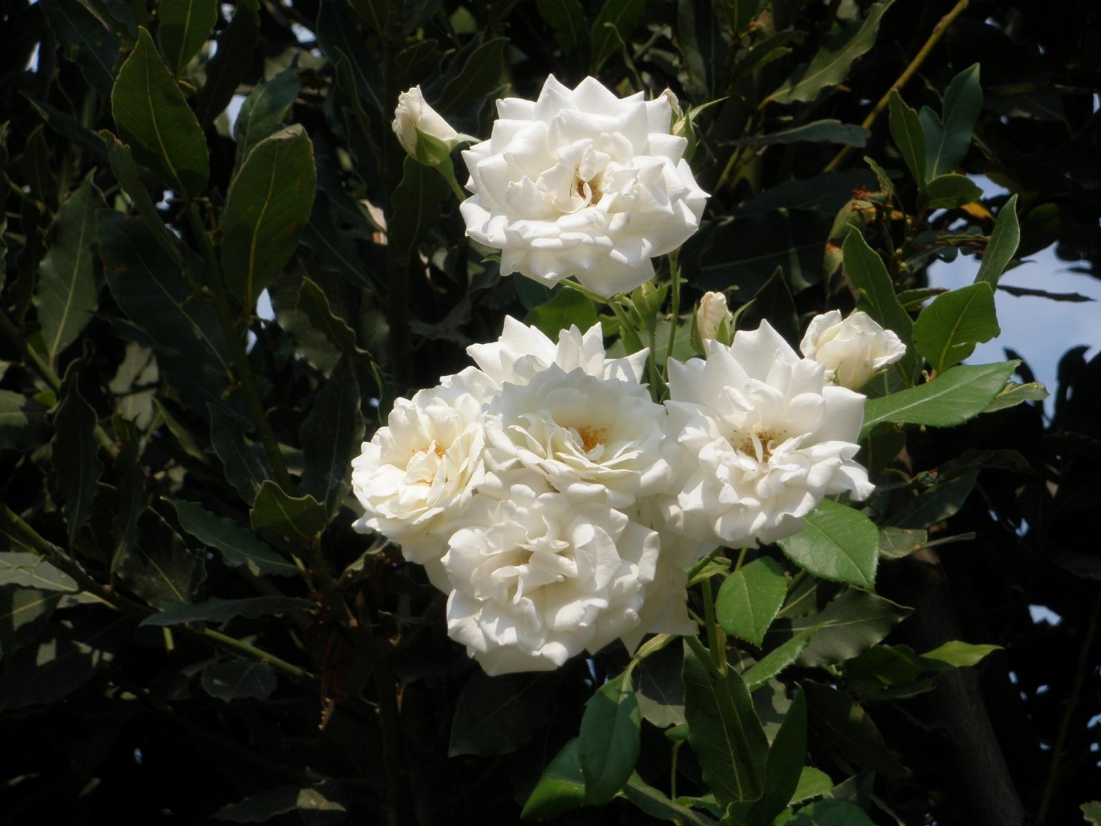 5387 скачать обои Растения, Цветы, Розы - заставки и картинки бесплатно