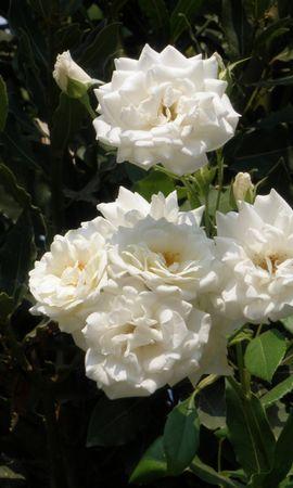 5387 télécharger le fond d'écran Plantes, Fleurs, Roses - économiseurs d'écran et images gratuitement