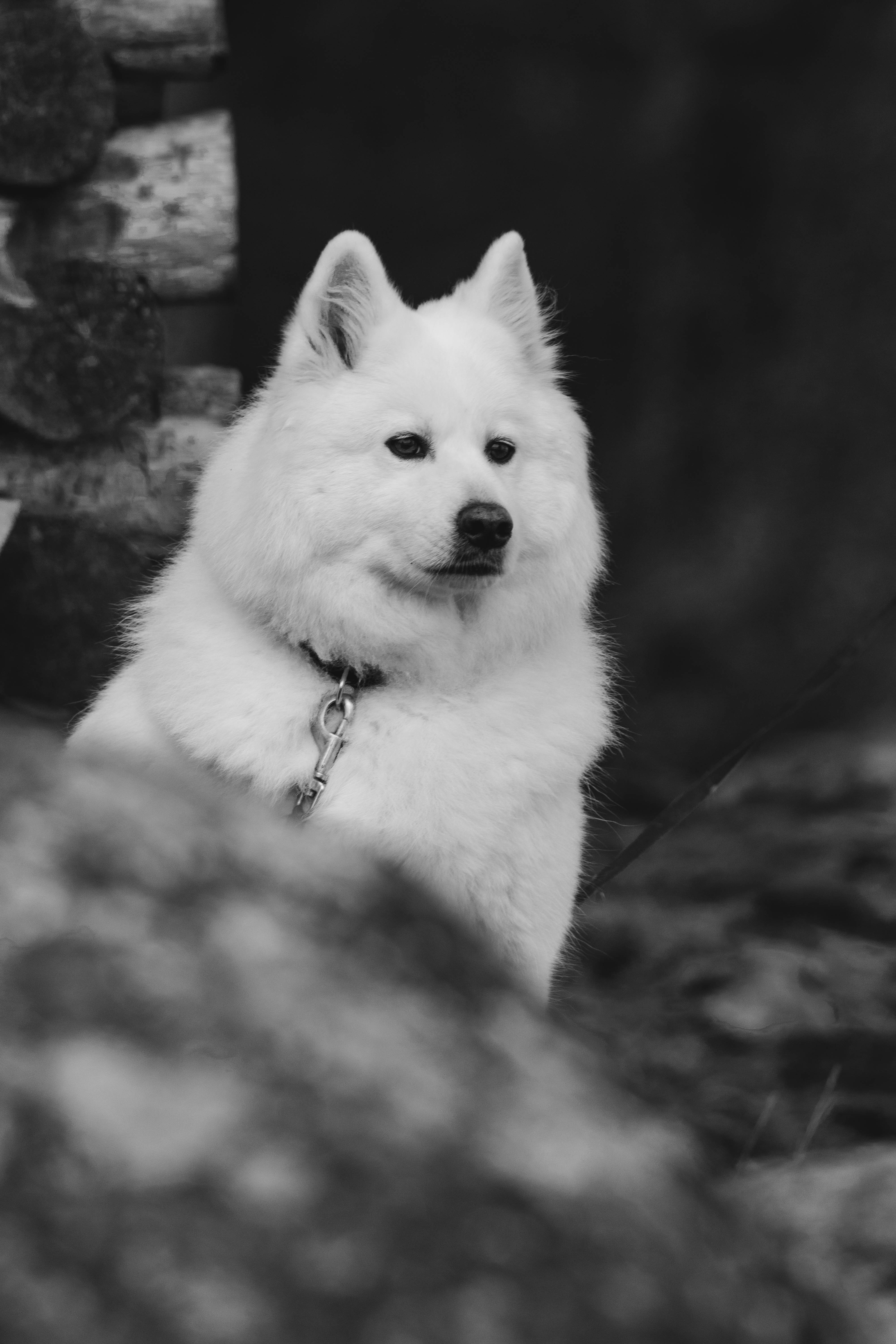 120963 download wallpaper Animals, Dog, Fluffy, Pet, Bw, Chb screensavers and pictures for free