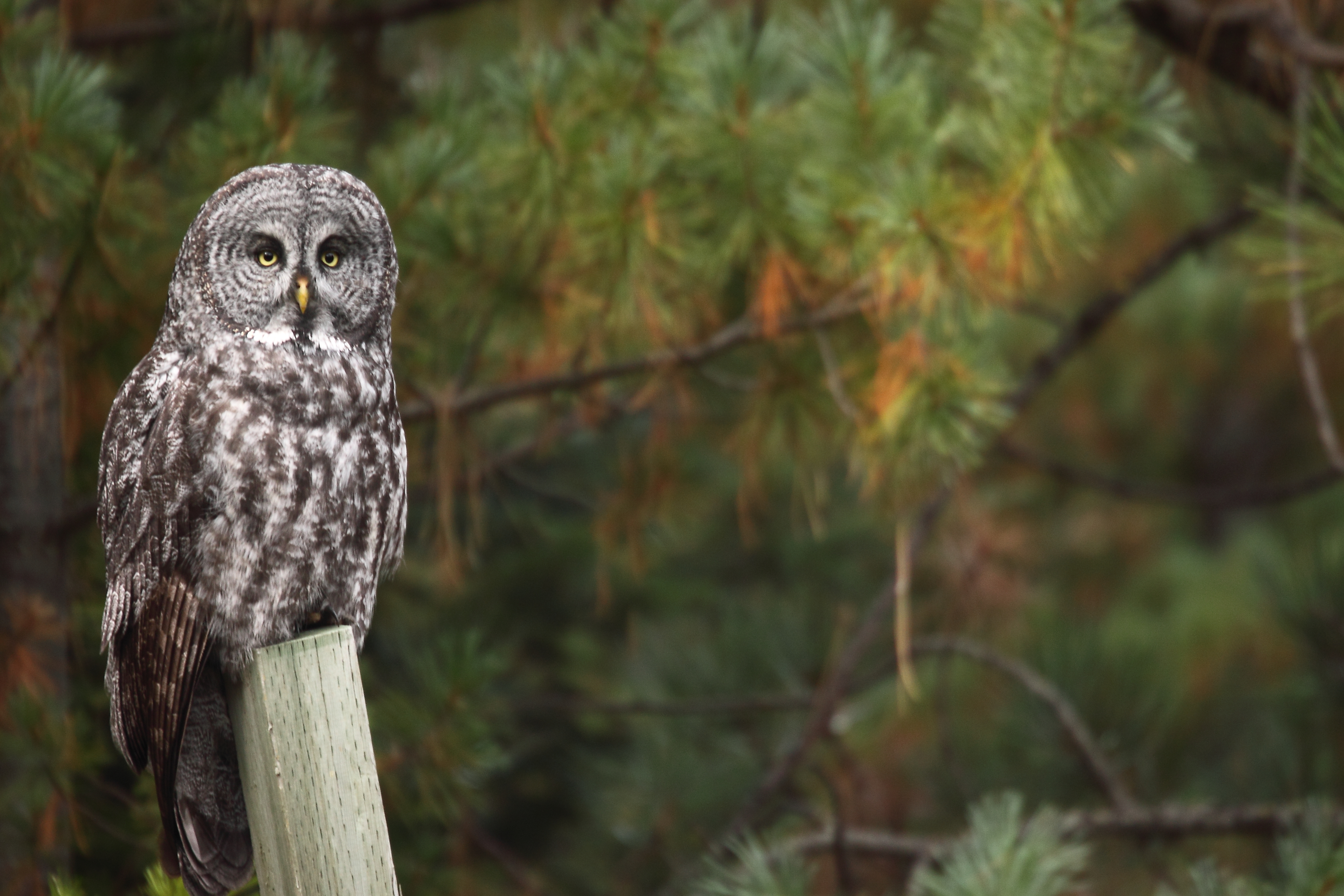 80032 download wallpaper Animals, Owl, Bird, Predator, Wood, Tree, Sight, Opinion screensavers and pictures for free