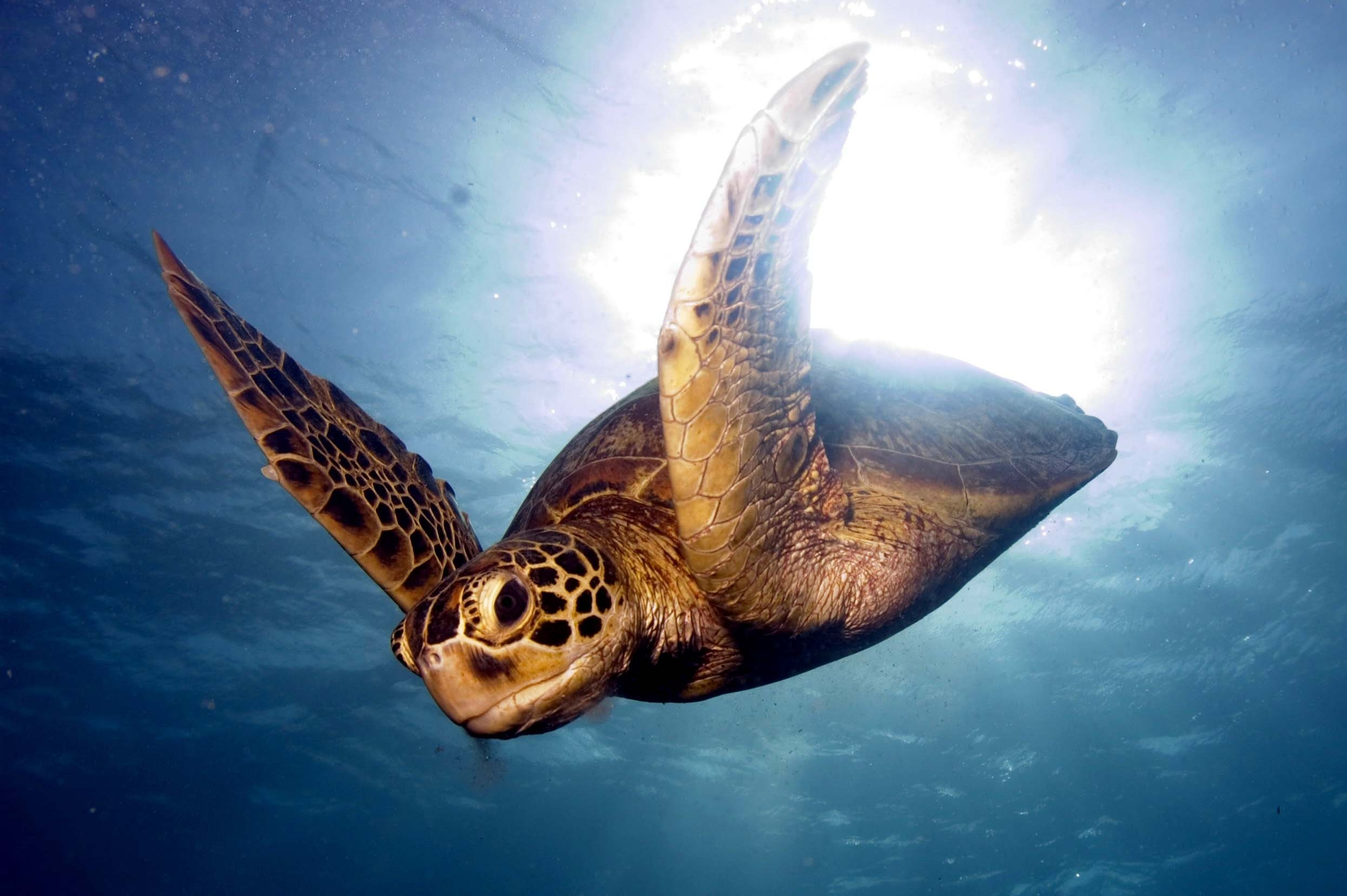75250 download wallpaper Animals, Barrier Reef, Sea, To Swim, Swim, Turtle screensavers and pictures for free