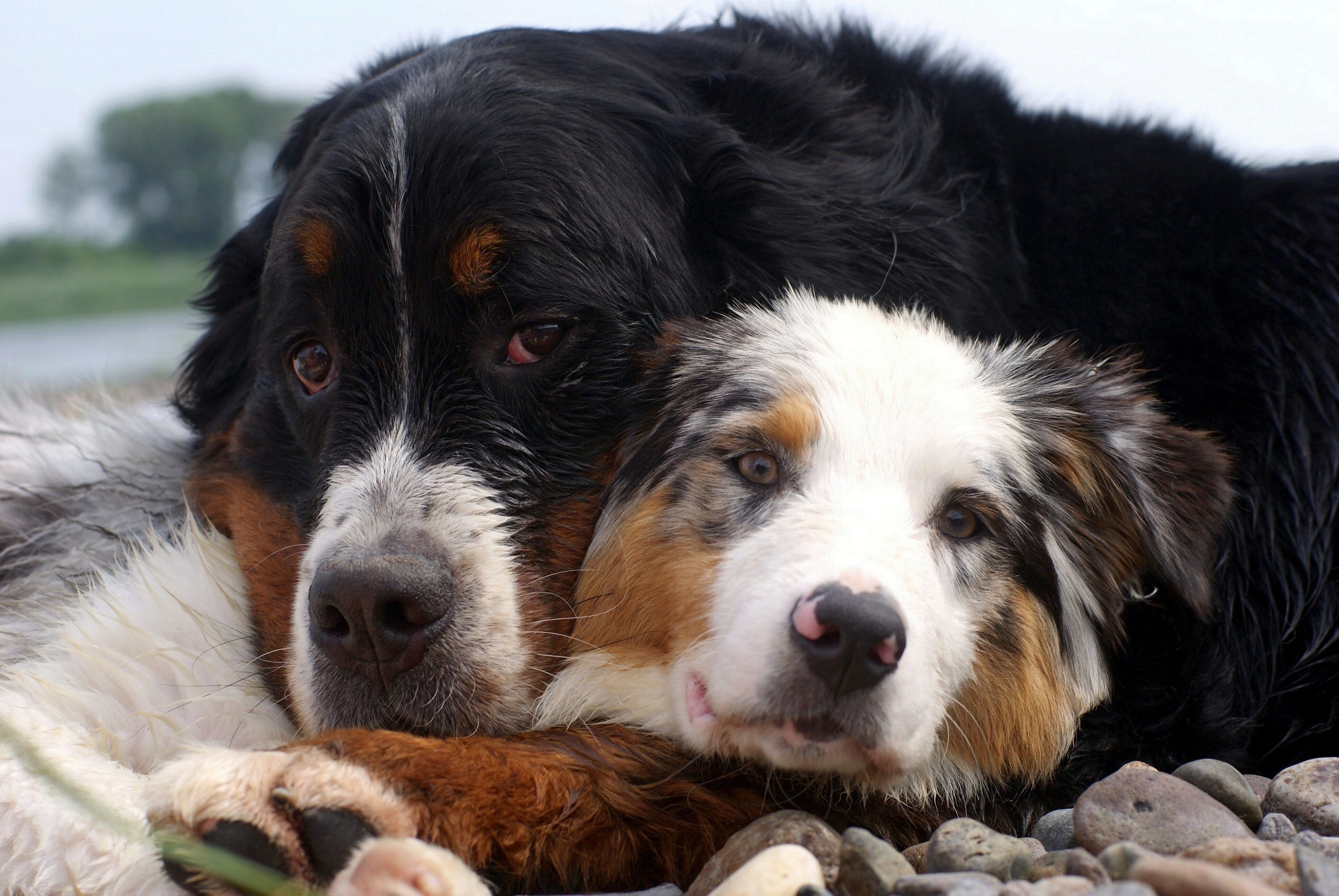 57455 download wallpaper Animals, Dogs, Couple, Pair, Embrace, Care screensavers and pictures for free