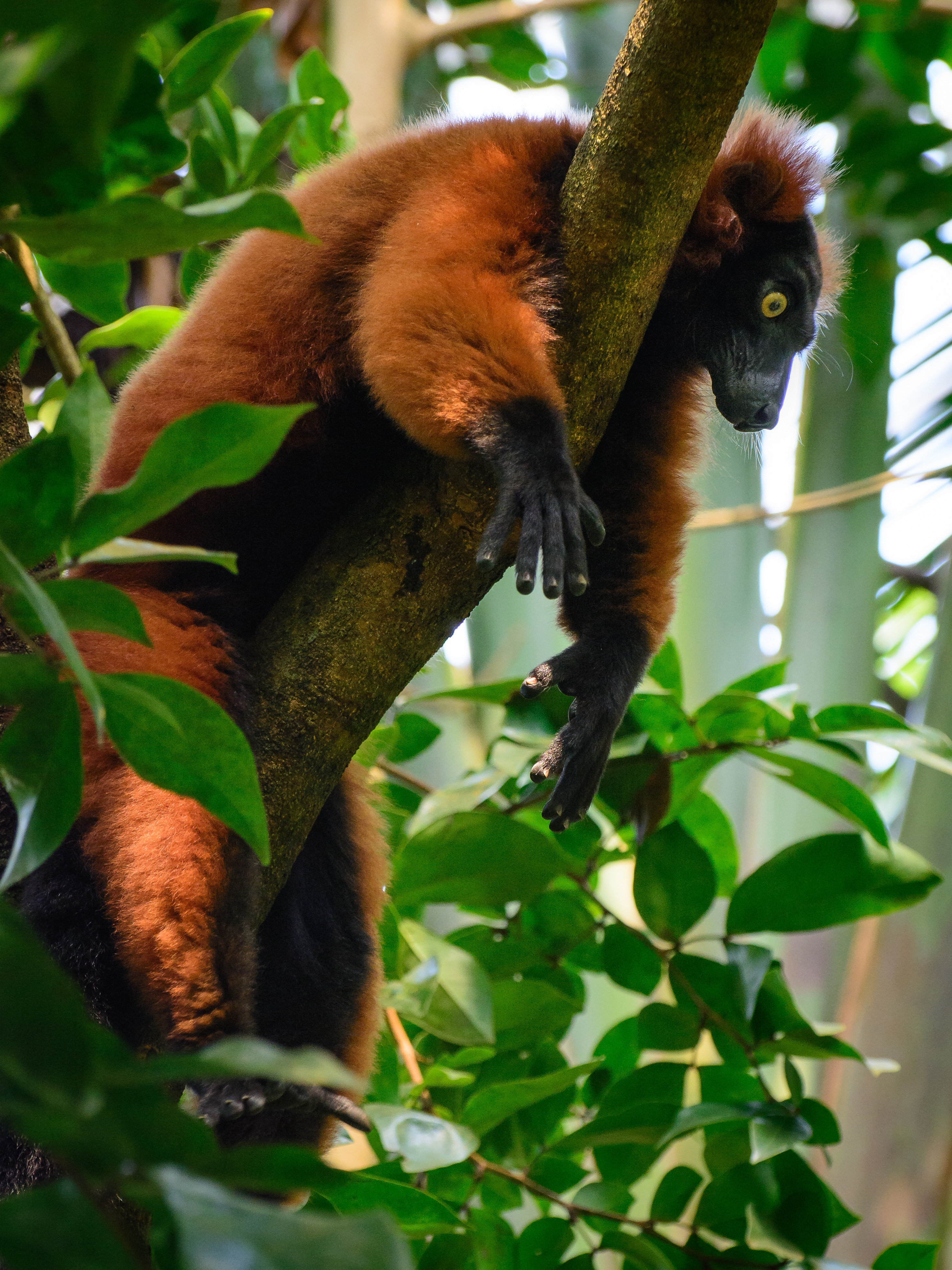 97917 download wallpaper Animals, Lemur, Animal, Wood, Tree screensavers and pictures for free