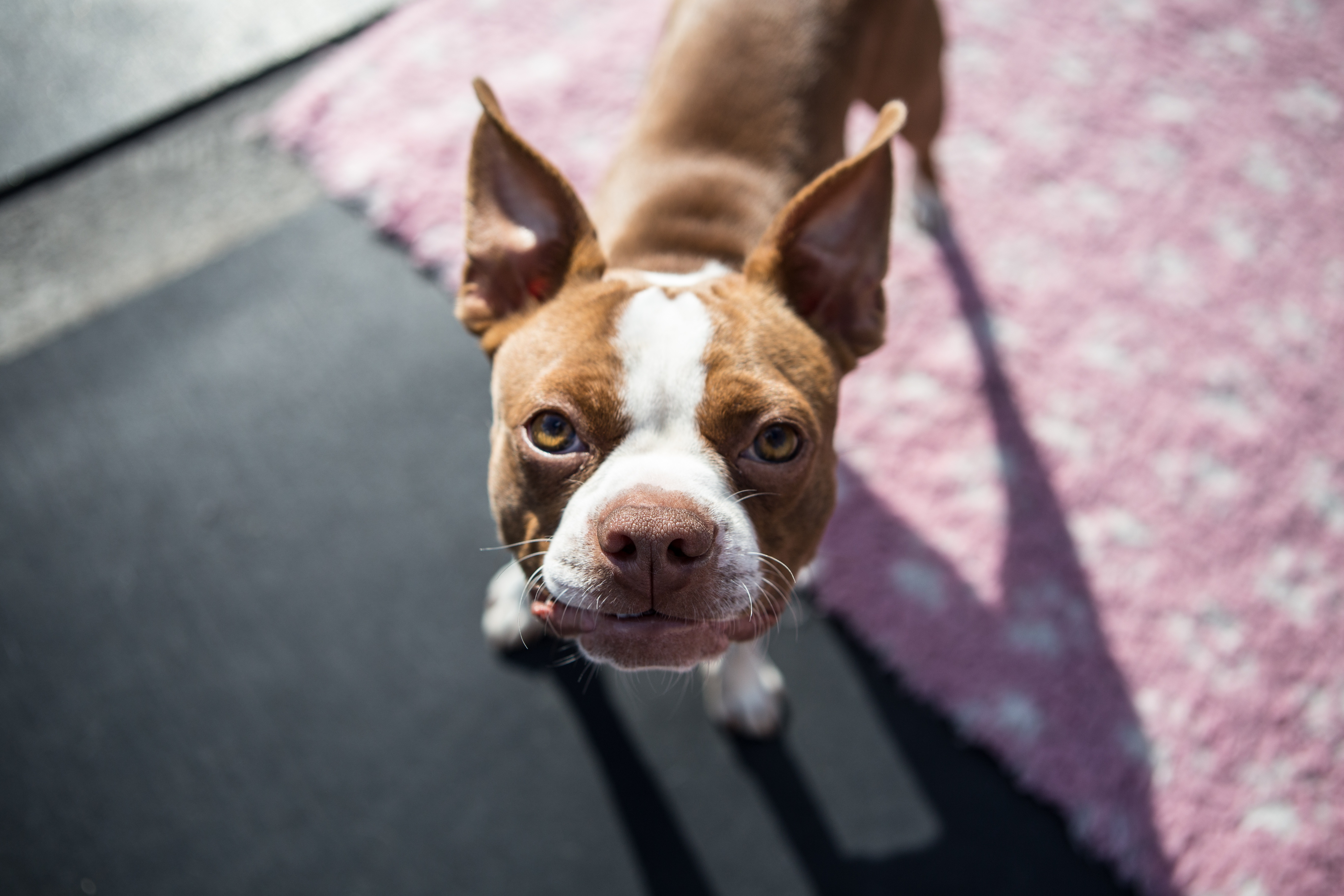 72592 download wallpaper Animals, Boston Terrier, Dog, Puppy, Muzzle screensavers and pictures for free