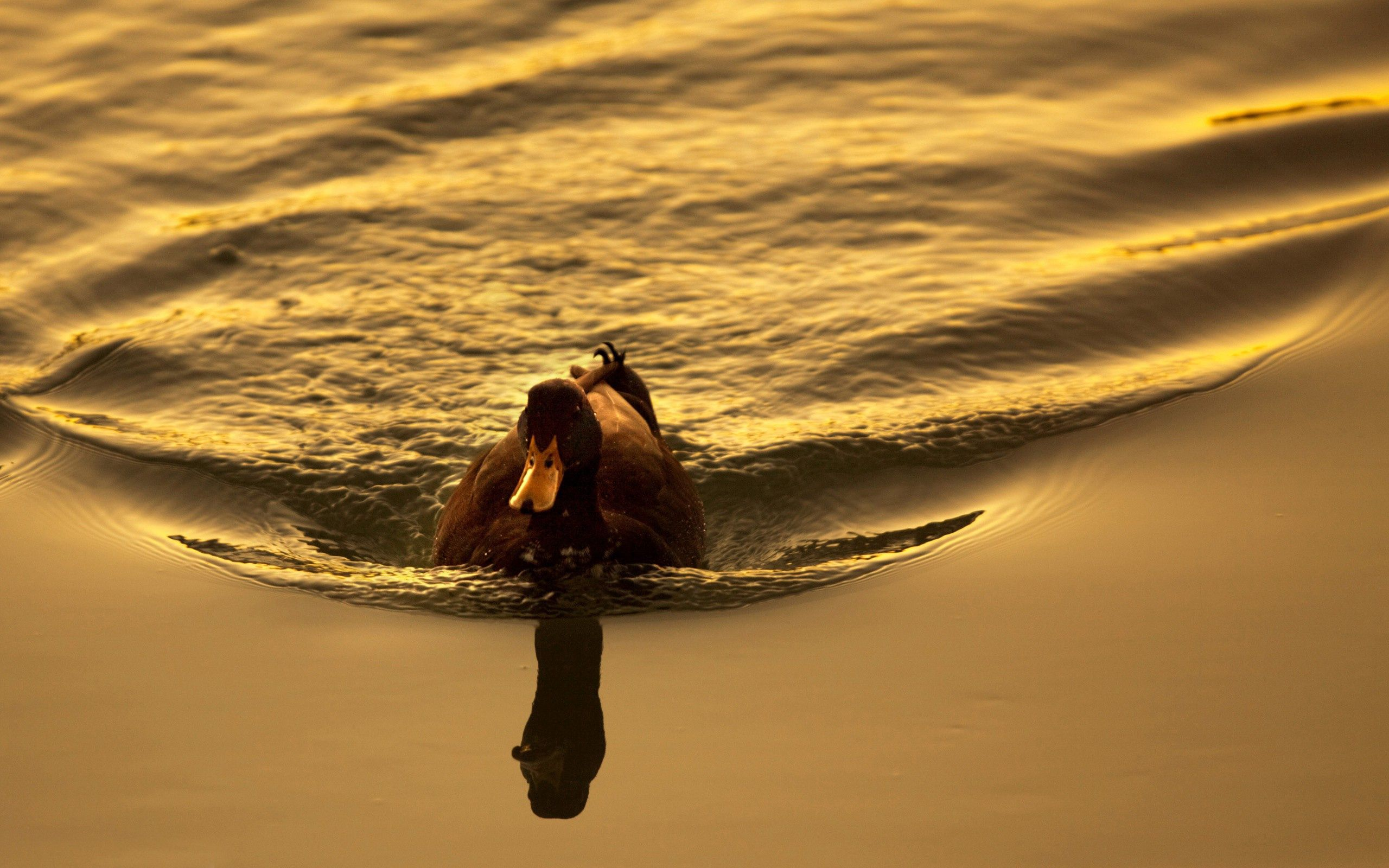 94046 download wallpaper Animals, Duck, Lake, To Swim, Swim, Sunset, Bird screensavers and pictures for free
