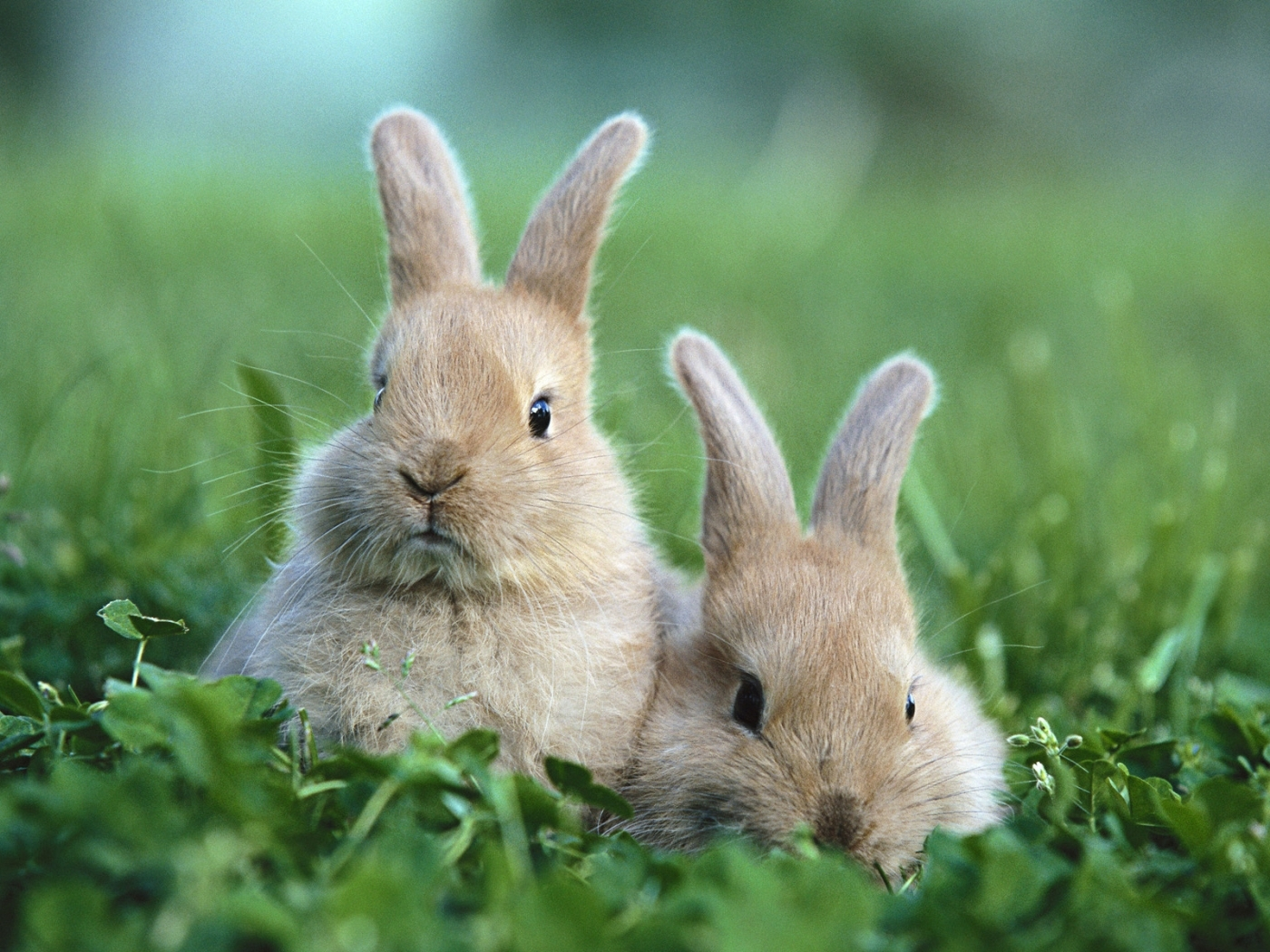 50232 download wallpaper Animals, Rabbits screensavers and pictures for free