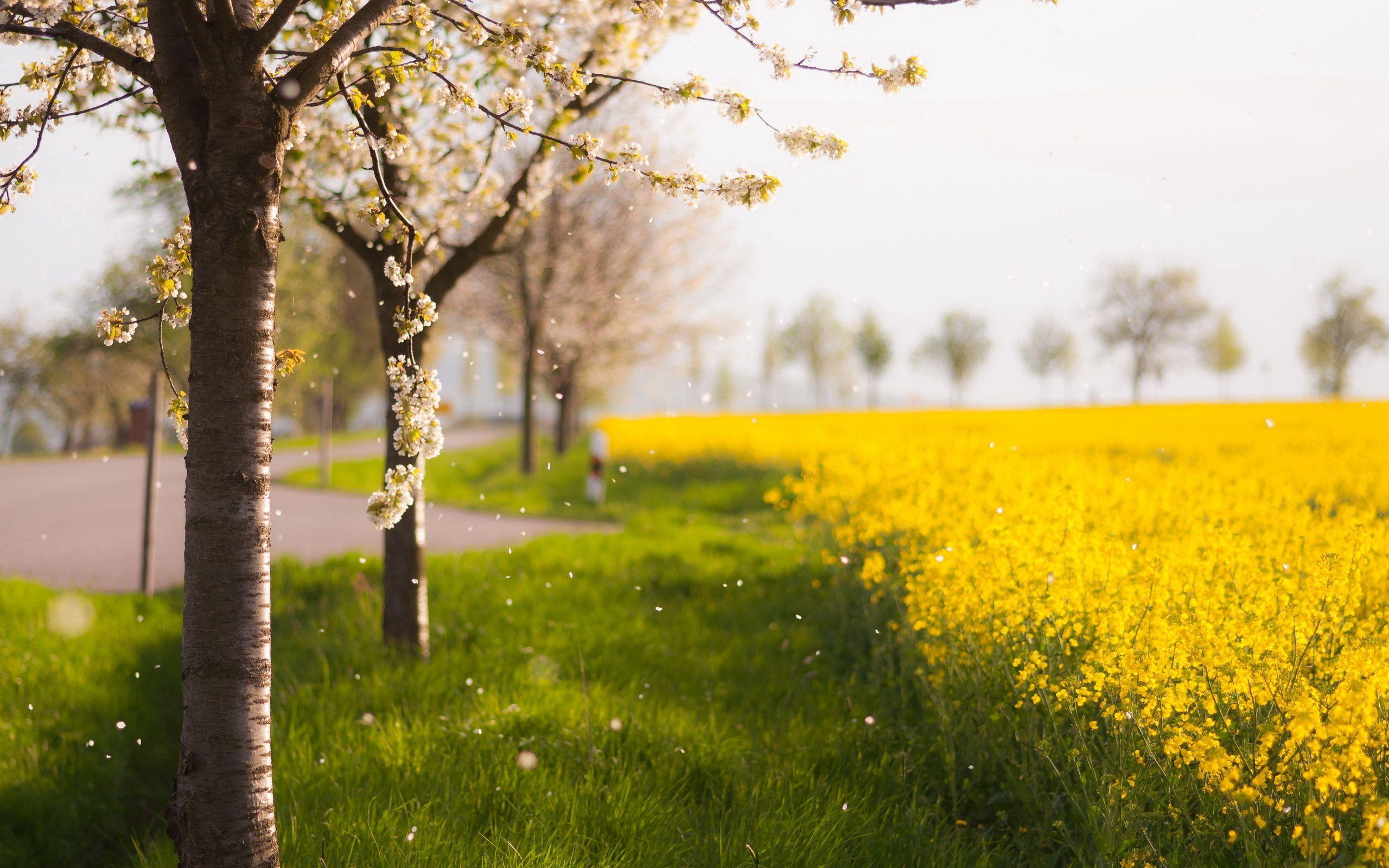 154755 скачать Желтые обои на телефон бесплатно, Природа, Деревья, Лепестки, Цветение, Поле, Весна Желтые картинки и заставки на мобильный