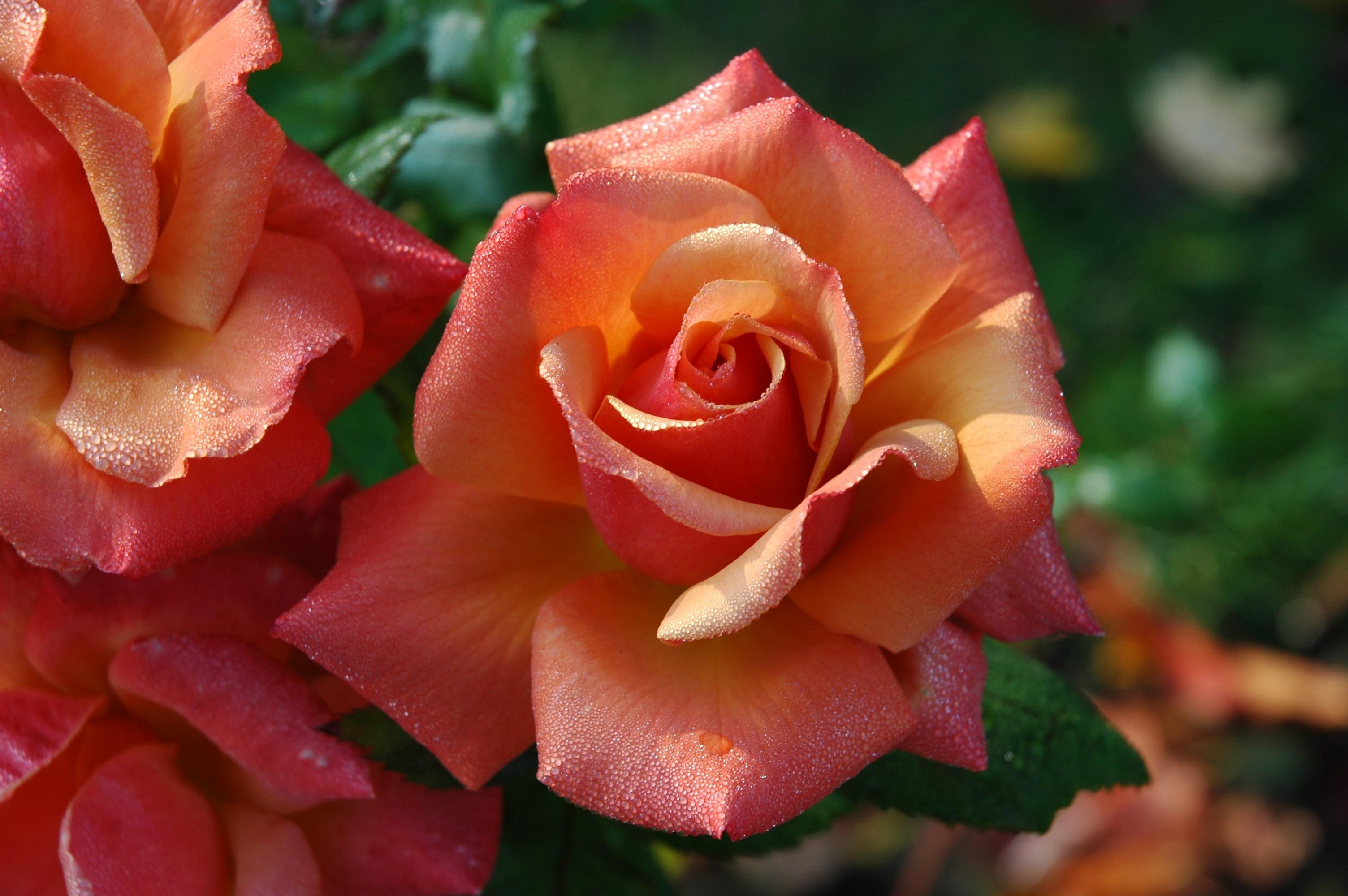 115686 скачать обои Цветы, Бутон, Лепестки, Розы - заставки и картинки бесплатно
