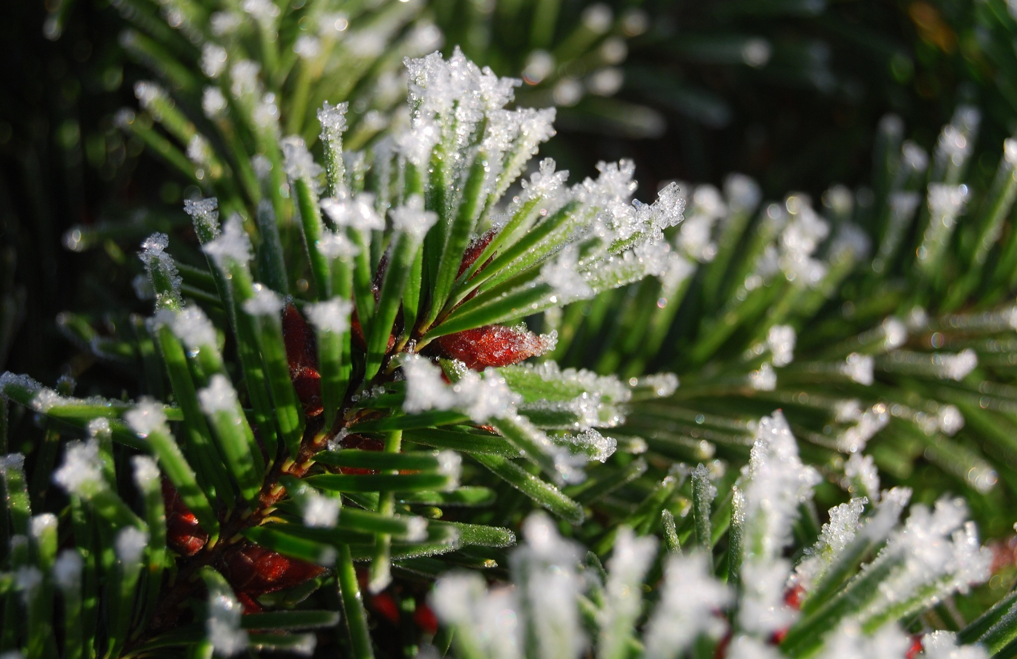 153592 Screensavers and Wallpapers Spruce for phone. Download Nature, Snow, Branch, Spruce, Fir pictures for free
