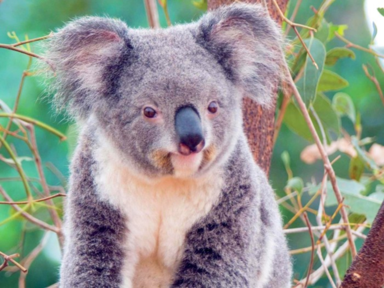 8853 download wallpaper Animals, Koalas screensavers and pictures for free