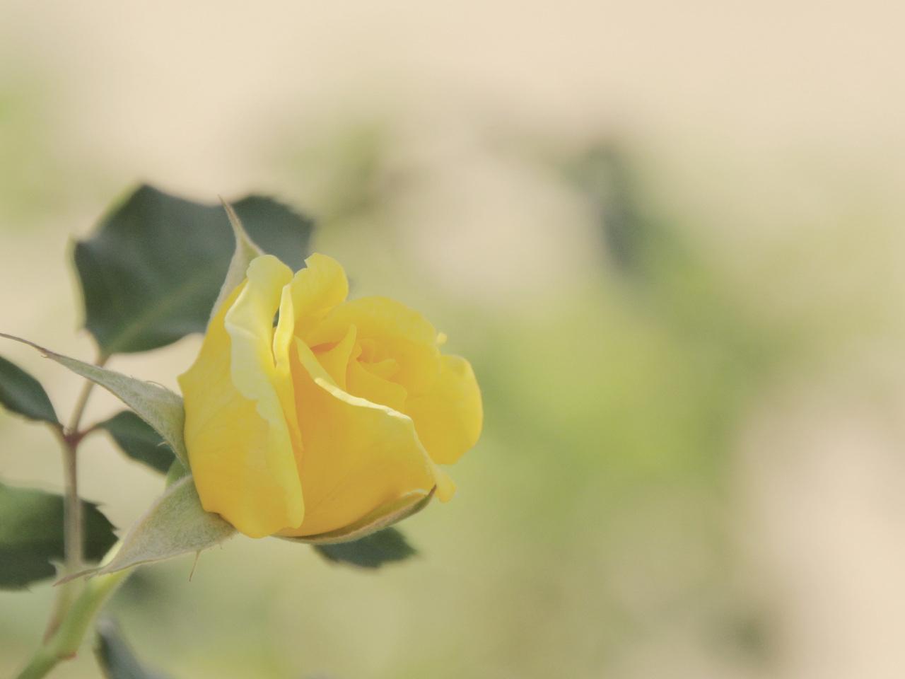 14714 descargar fondo de pantalla Plantas, Flores, Roses: protectores de pantalla e imágenes gratis