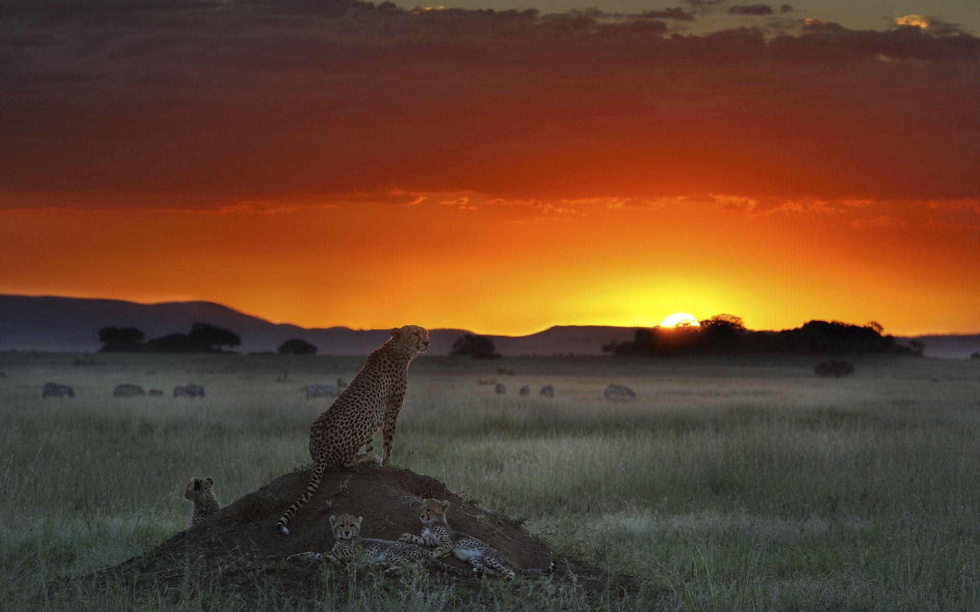62629 Hintergrundbild herunterladen Tiere, Sunset, Grass, Horizont, Sitzen, Höhe, Gepard, Elevation - Bildschirmschoner und Bilder kostenlos