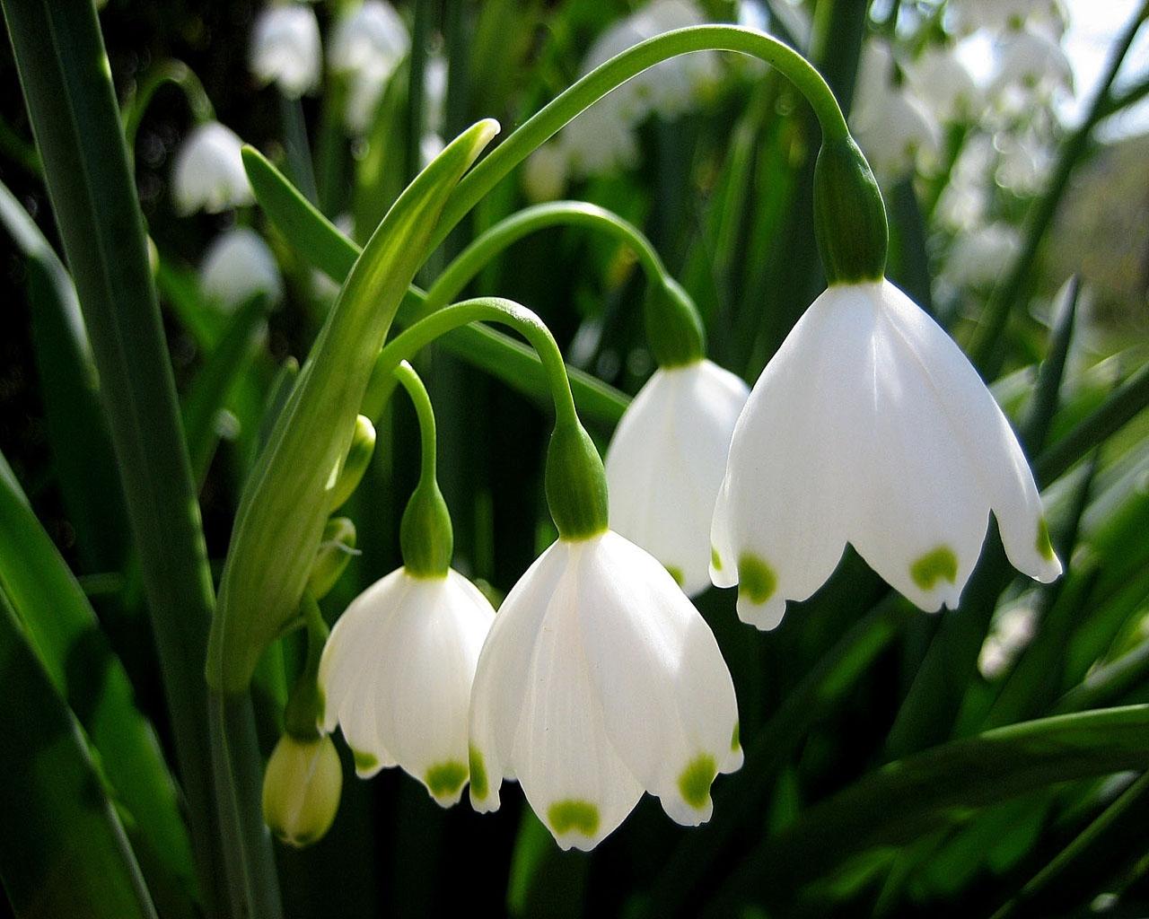792 скачать обои Растения, Цветы, Колокольчики - заставки и картинки бесплатно