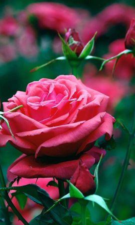 24692 скачать обои Растения, Цветы, Розы - заставки и картинки бесплатно