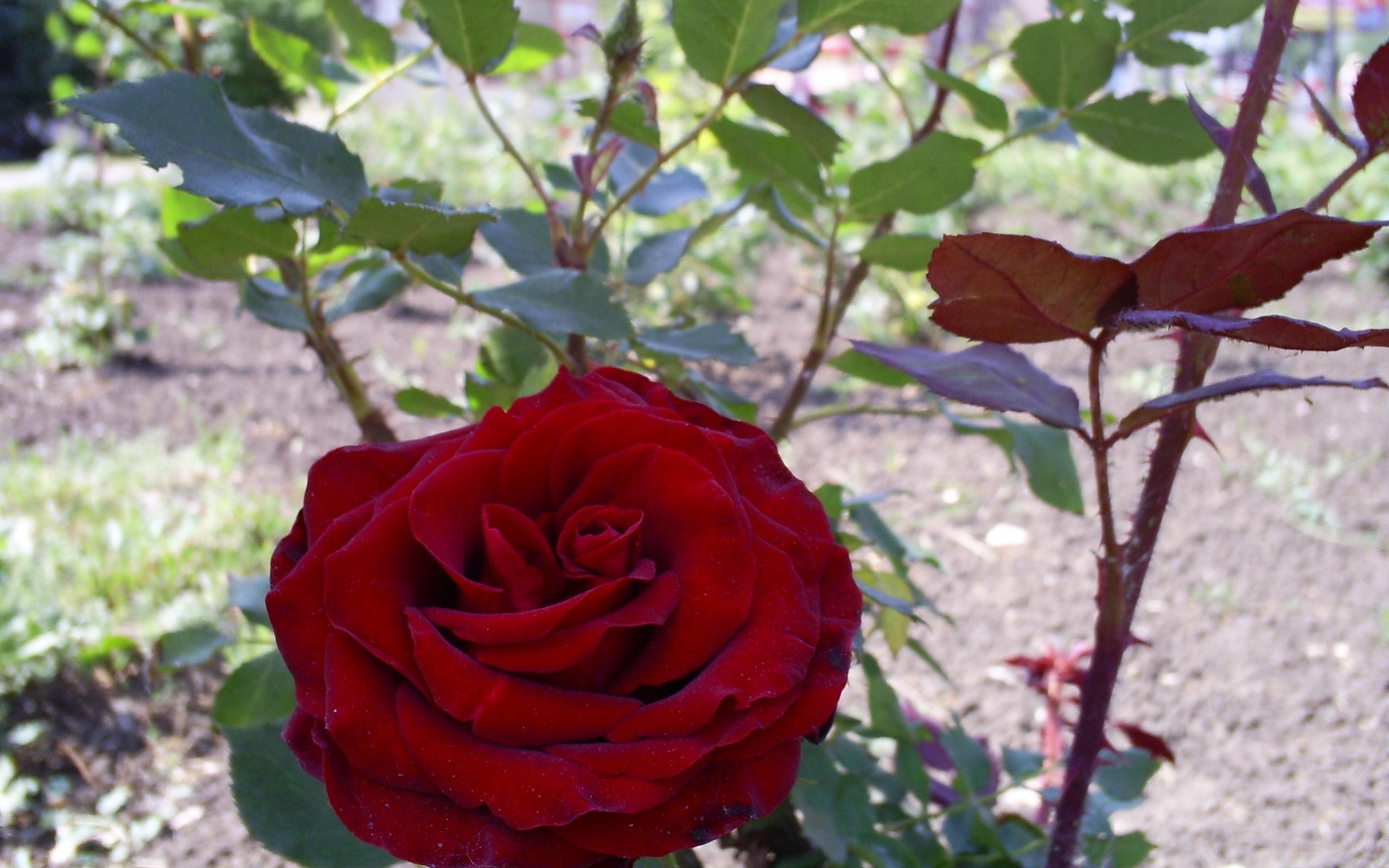 879 скачать обои Растения, Цветы, Розы - заставки и картинки бесплатно