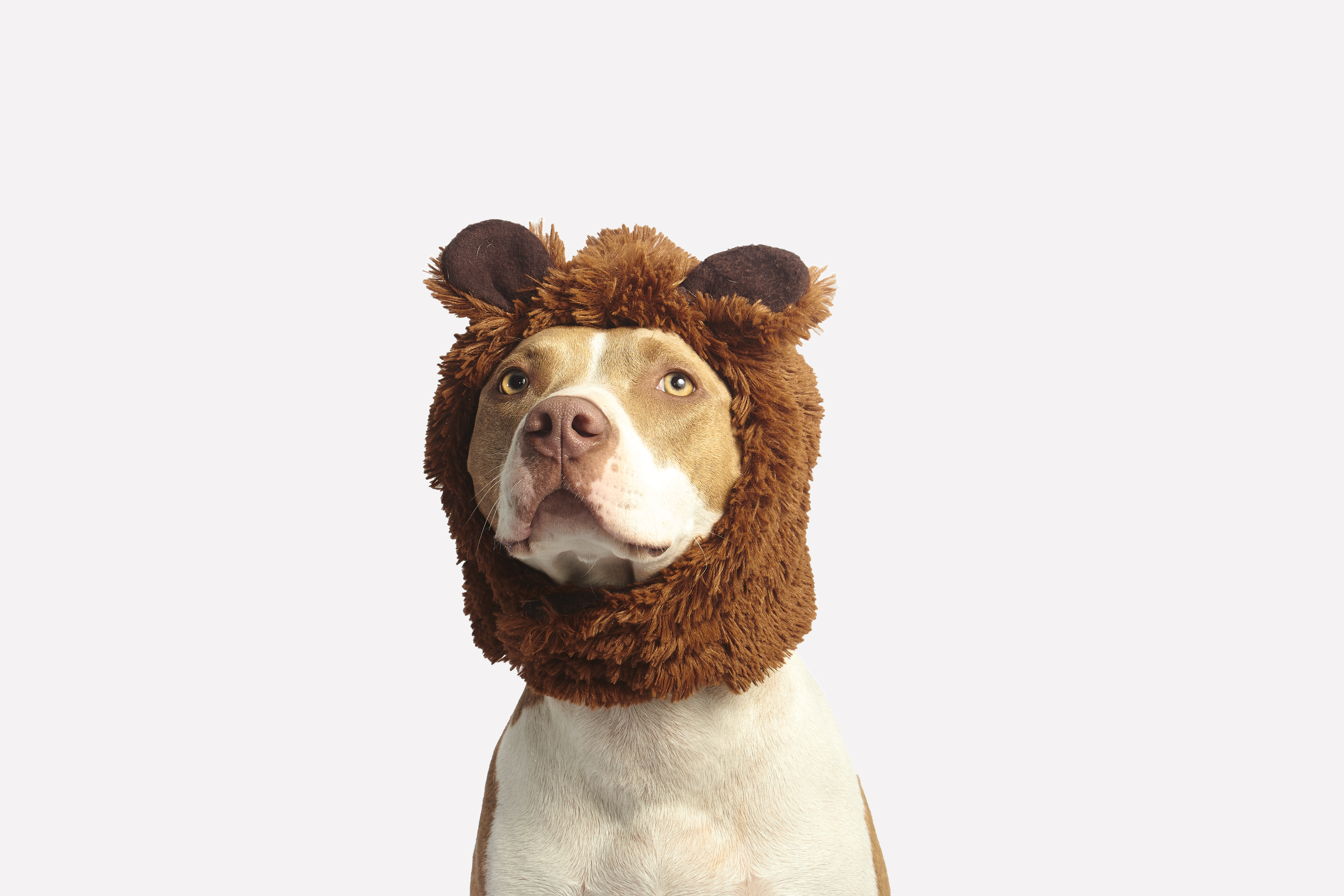 128257 download wallpaper Animals, Pitbull, Pit Bull, Dog, Cap, Cool, Funny screensavers and pictures for free