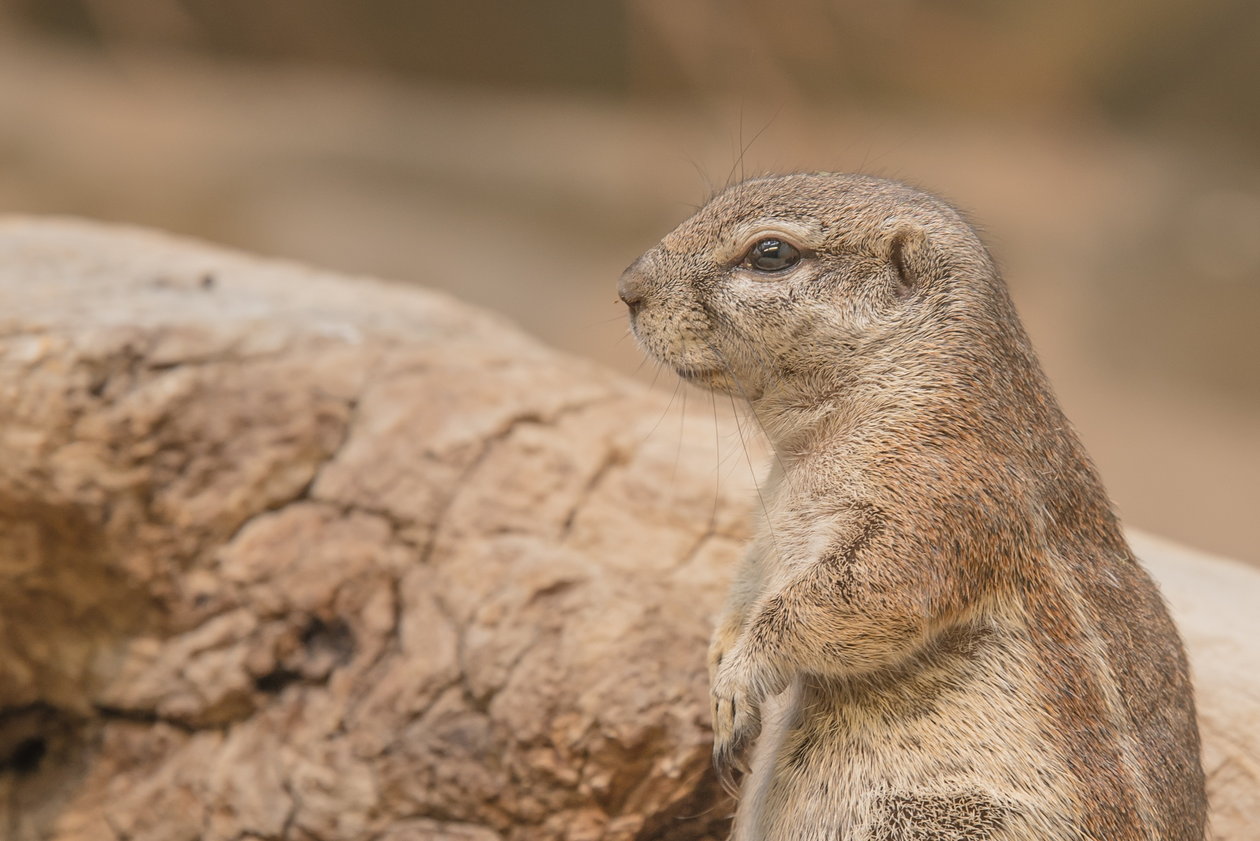 78953 download wallpaper Animals, Prairie Dog, Meadow Dog, Rodent, Muzzle screensavers and pictures for free