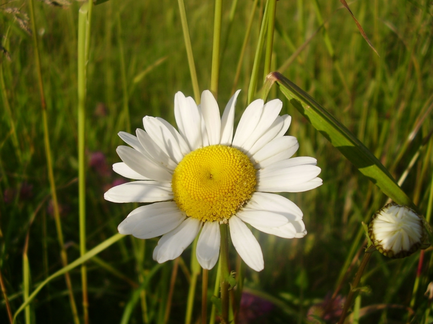 46418 download wallpaper Plants, Flowers, Camomile screensavers and pictures for free