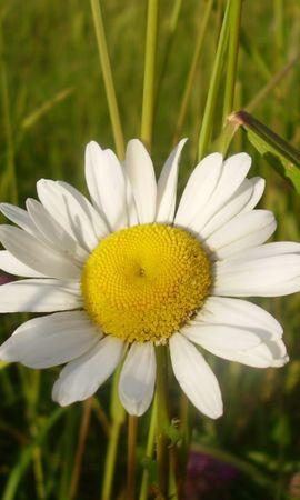 46418 télécharger le fond d'écran Plantes, Fleurs, Camomille - économiseurs d'écran et images gratuitement
