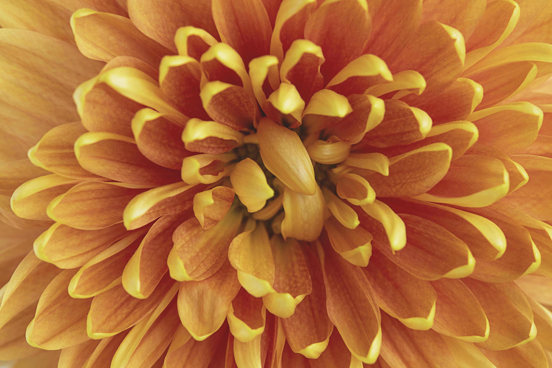 114671 download wallpaper Macro, Chrysanthemum, Flower, Petals screensavers and pictures for free