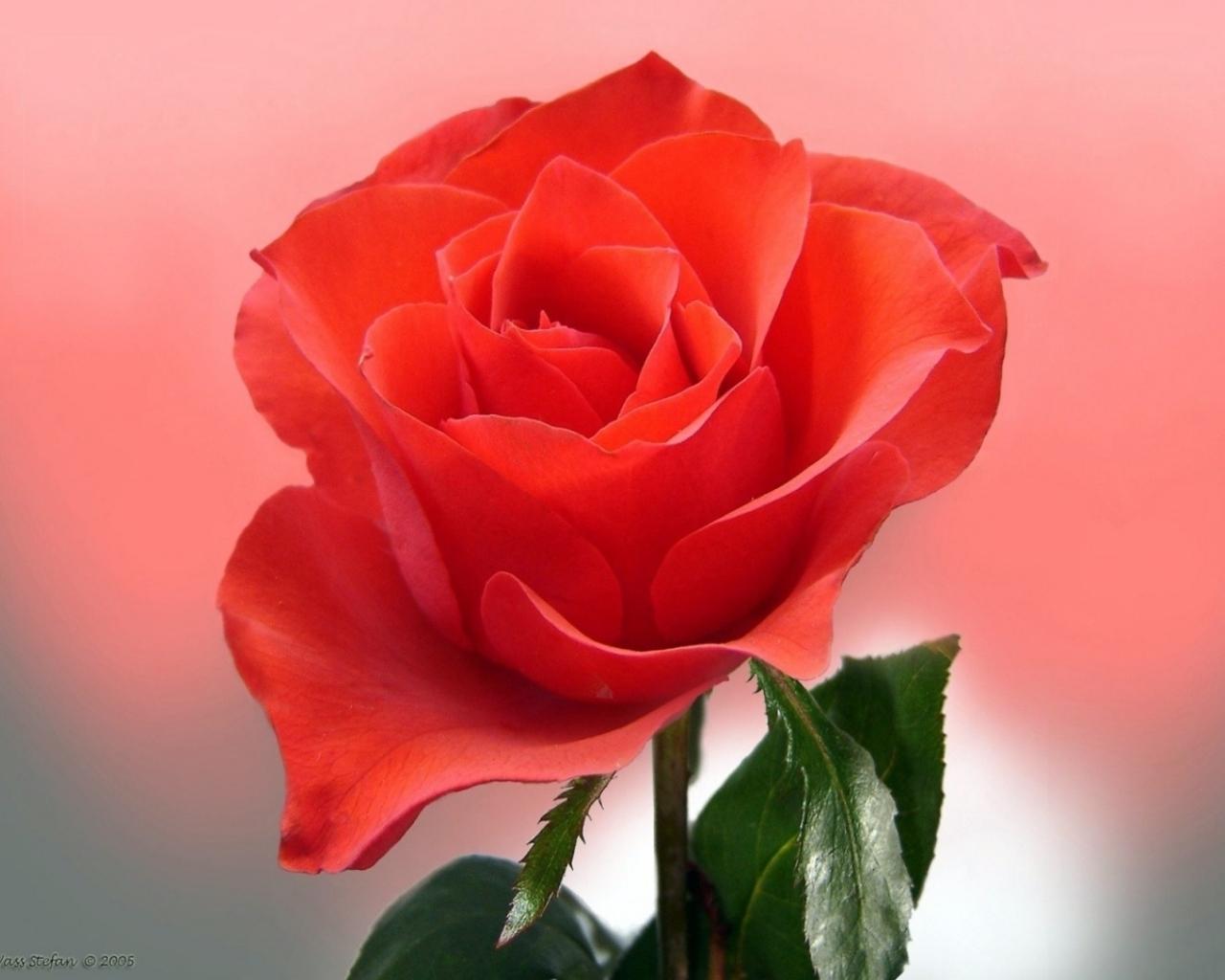 3249 скачать обои Растения, Цветы, Розы - заставки и картинки бесплатно
