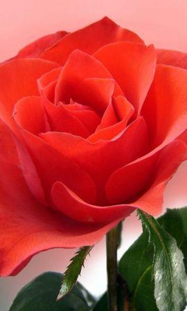 3249 descargar fondo de pantalla Plantas, Flores, Roses: protectores de pantalla e imágenes gratis