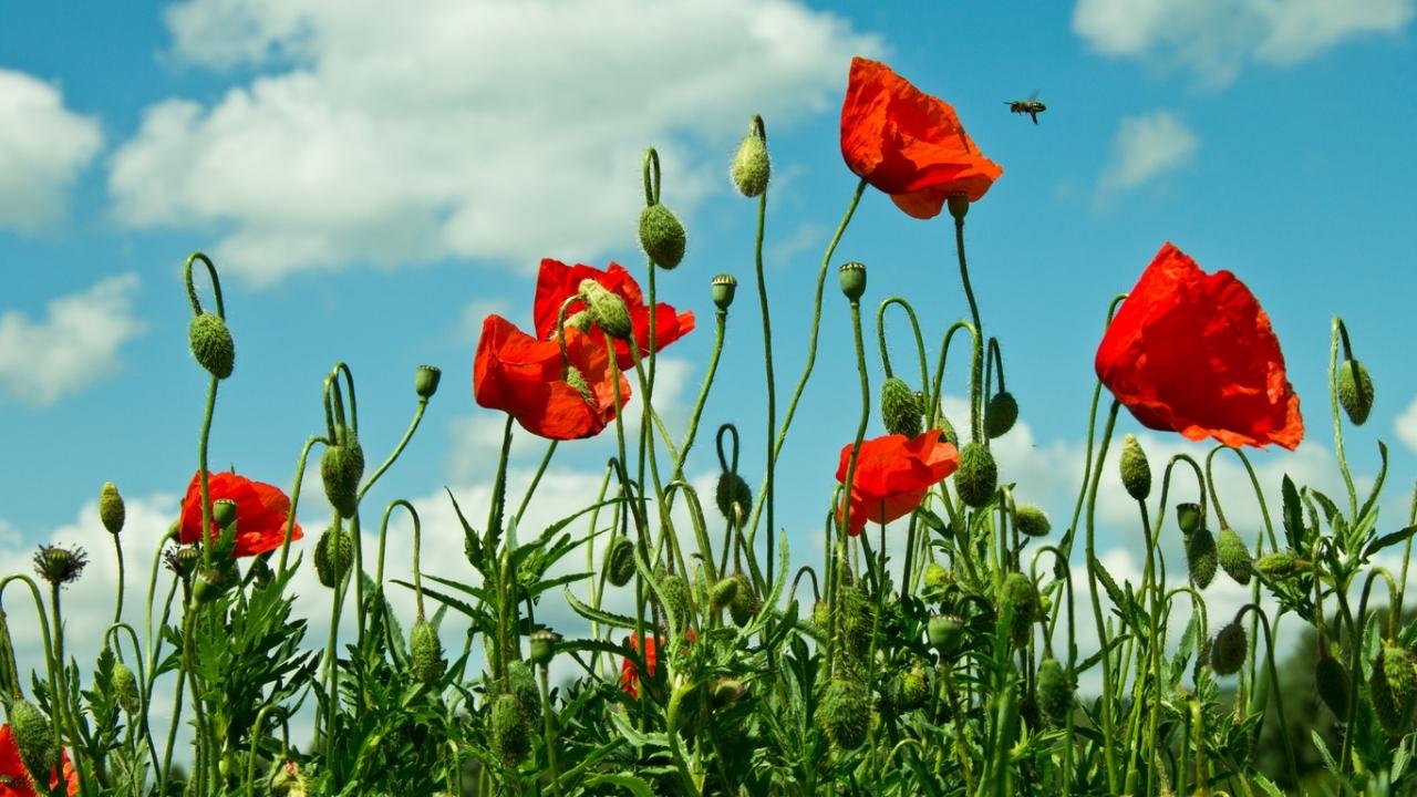46660 скачать обои Растения, Цветы, Маки - заставки и картинки бесплатно