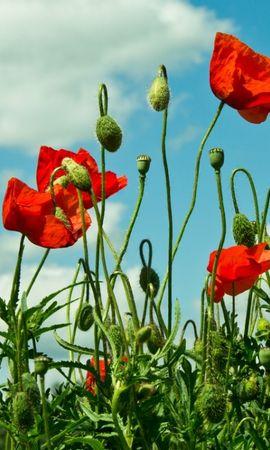 46660 baixar papel de parede Plantas, Flores, Papoulas - protetores de tela e imagens gratuitamente
