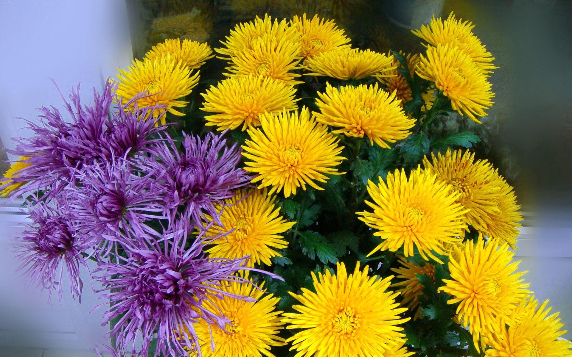 83868 скачать обои Цветы, Сиреневые, Букет, Хризантемы - заставки и картинки бесплатно