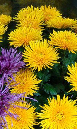 83868 скачать Желтые обои на телефон бесплатно, Цветы, Сиреневые, Букет, Хризантемы Желтые картинки и заставки на мобильный