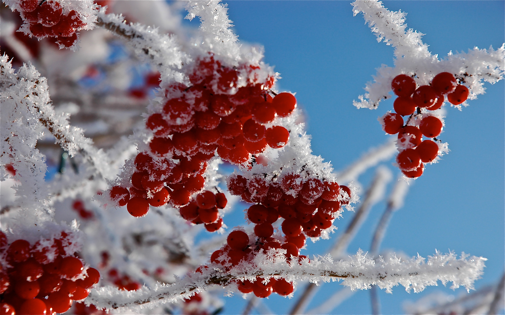 25593 download wallpaper Plants, Winter, Trees, Snow, Berries screensavers and pictures for free