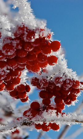 25593 скачать обои Растения, Зима, Деревья, Снег, Ягоды - заставки и картинки бесплатно