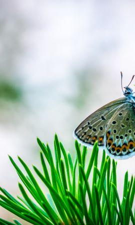 お使いの携帯電話の69020スクリーンセーバーと壁紙昆虫。 大きい, マクロ, バタフライ, 蝶, 昆虫, スプルース, モミ, ブランチ, 枝, 針の写真を無料でダウンロード