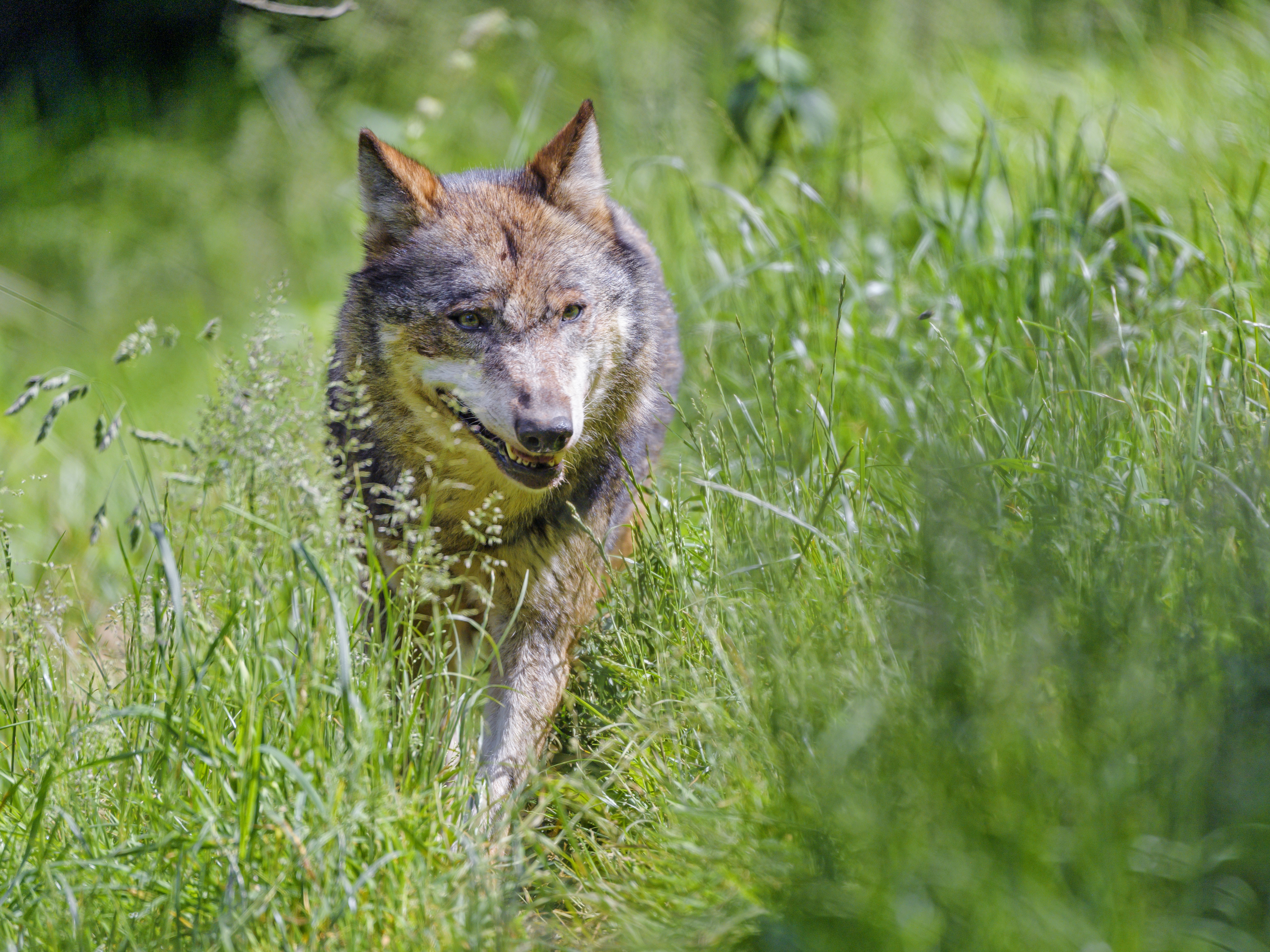 123518 download wallpaper Animals, Wolf, Predator, Animal, Grass screensavers and pictures for free