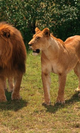 6780 download wallpaper Animals, Lions screensavers and pictures for free