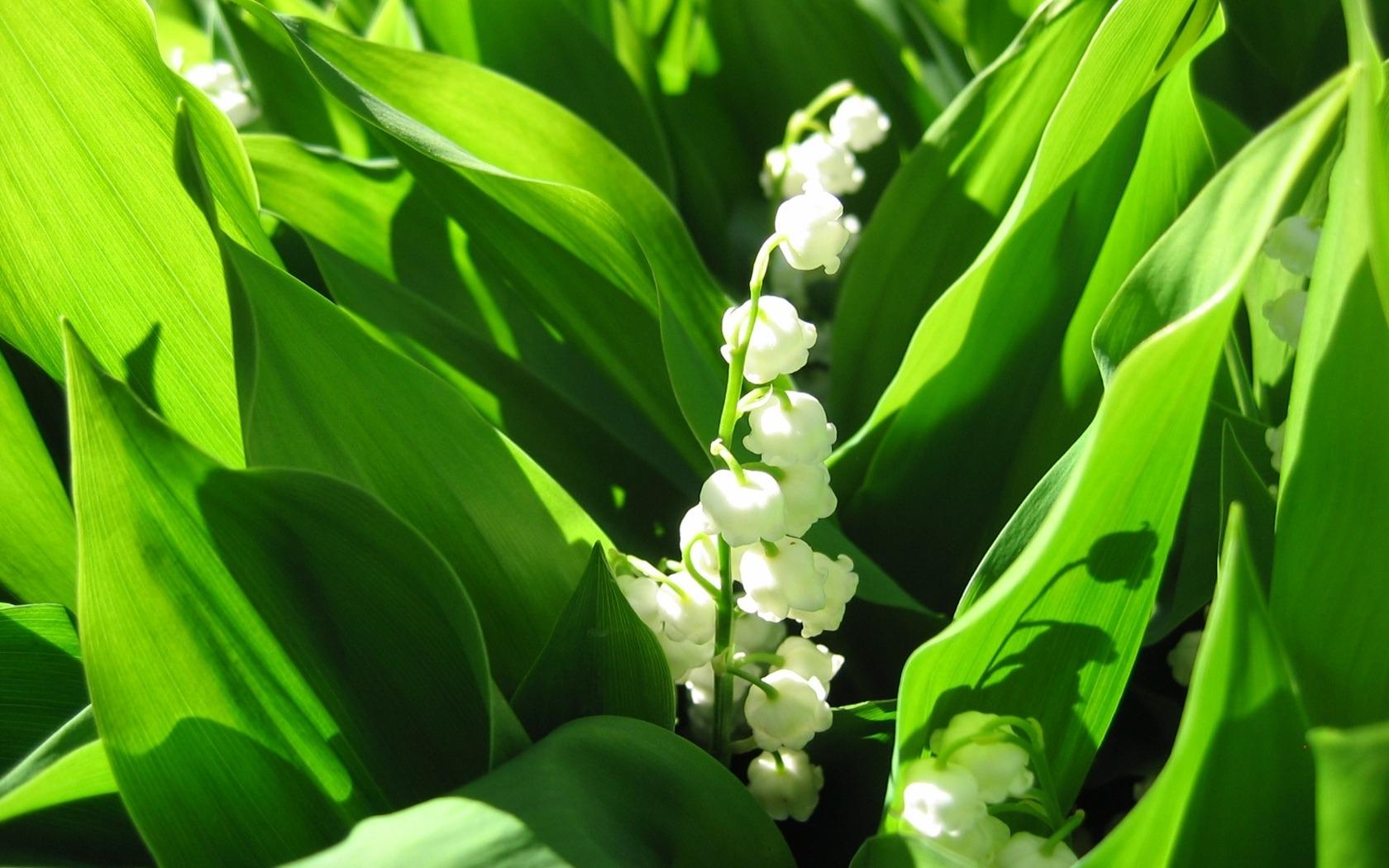 39997 Hintergrundbild herunterladen Pflanzen, Blumen, Maiglöckchen - Bildschirmschoner und Bilder kostenlos