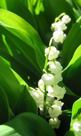 39997 descargar fondo de pantalla Plantas, Flores, Lirios Del Valle: protectores de pantalla e imágenes gratis