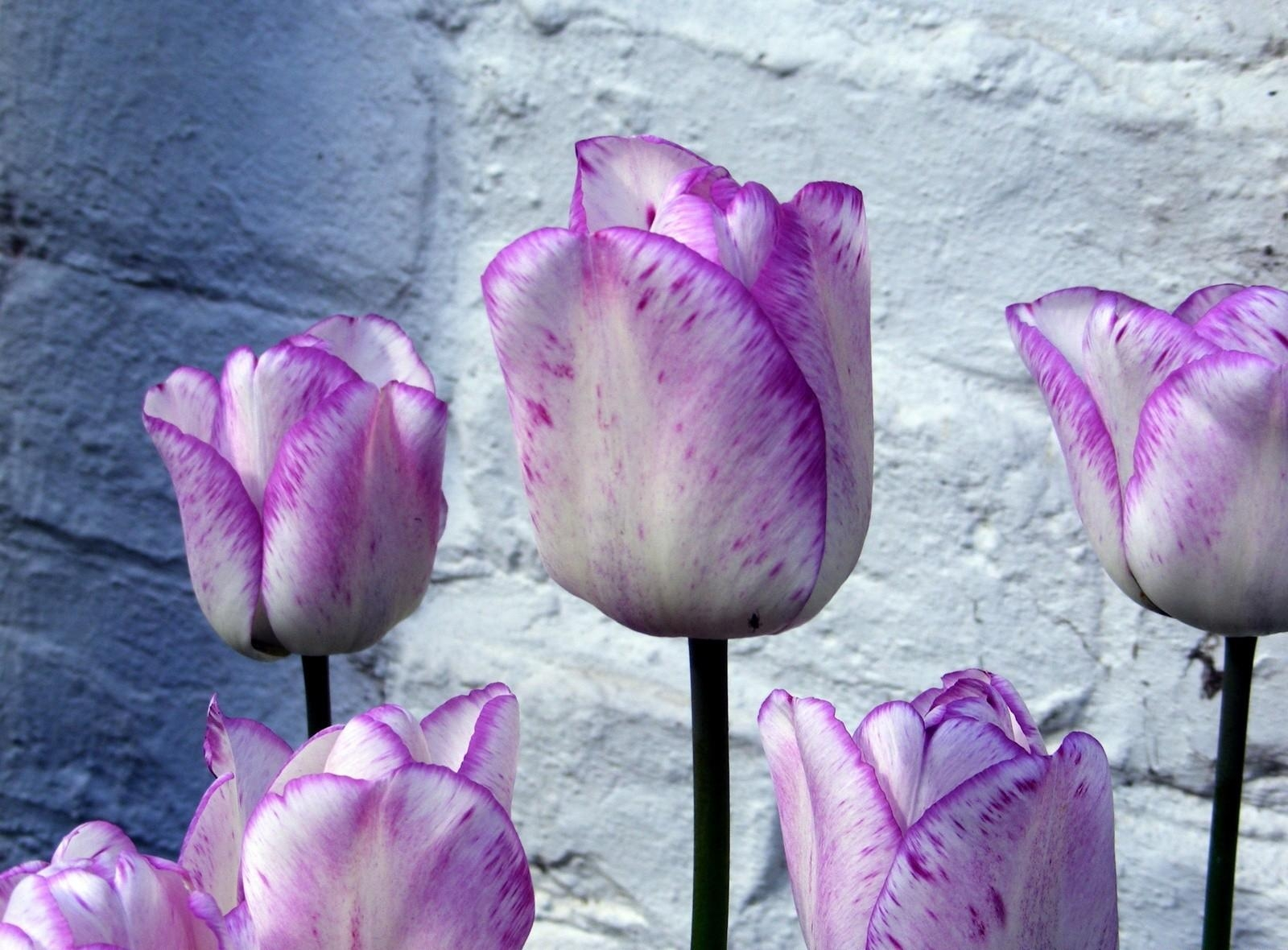 119287 descargar fondo de pantalla Flores, Cogollos, Brotes, Jaspeado, Moteado, Cama De Flores, Parterre, Pared, Tulipanes: protectores de pantalla e imágenes gratis