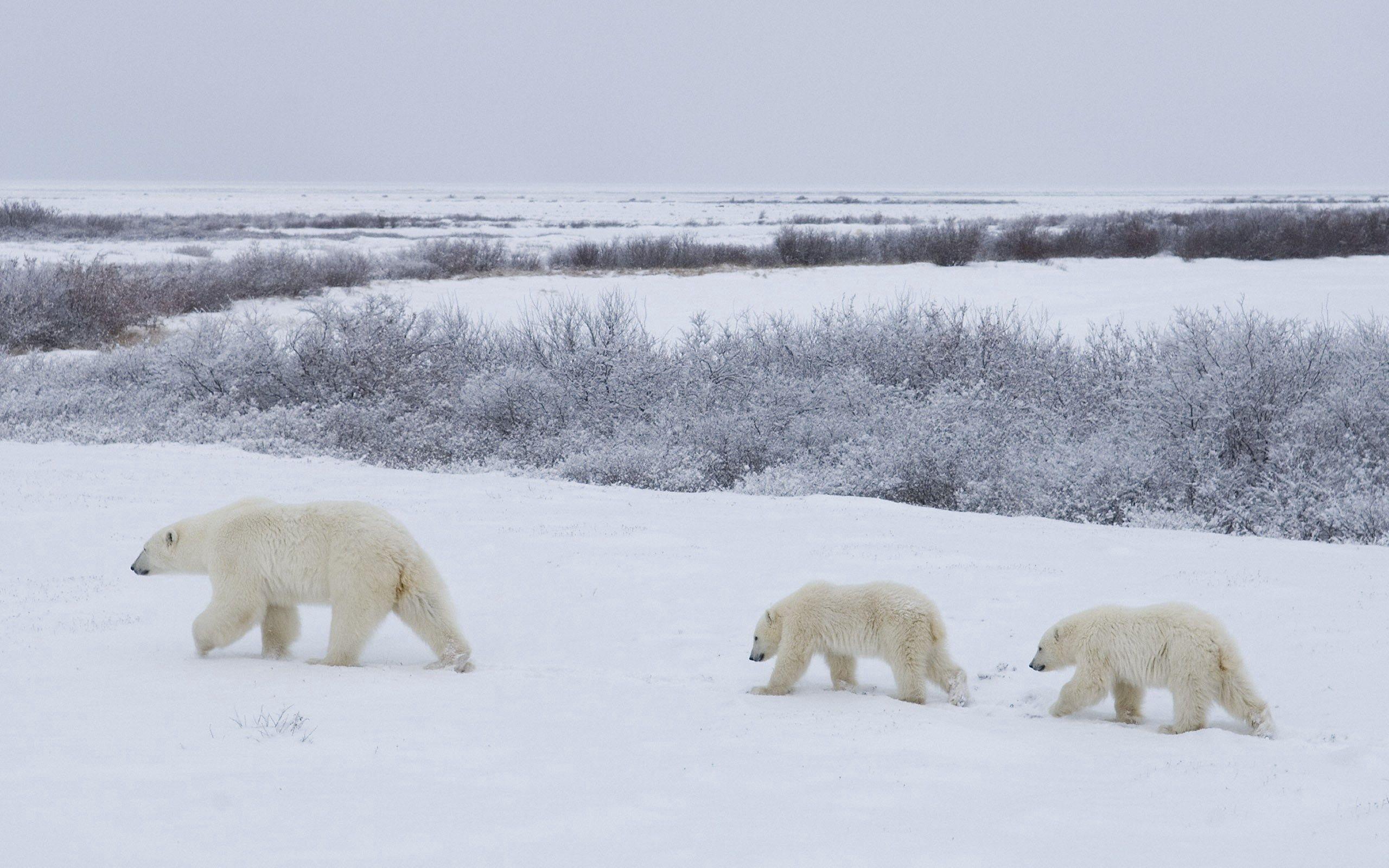 55792 Заставки и Обои Медведи на телефон. Скачать Животные, Снег, Медведи, Прогулка, Семья, Полярные Медведи картинки бесплатно