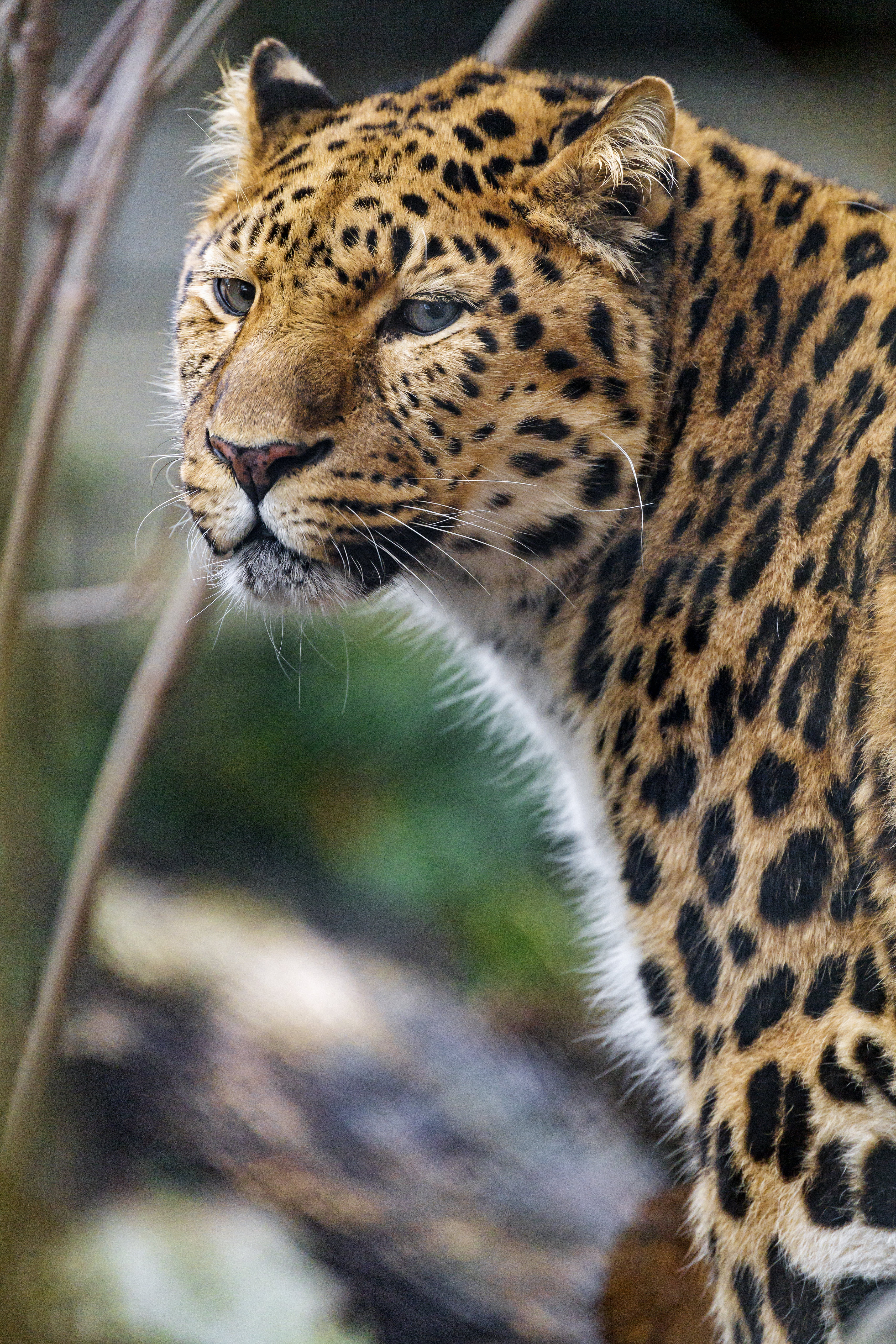 153910 download wallpaper Animals, Leopard, Big Cat, Predator, Sight, Opinion, Stains, Spots screensavers and pictures for free