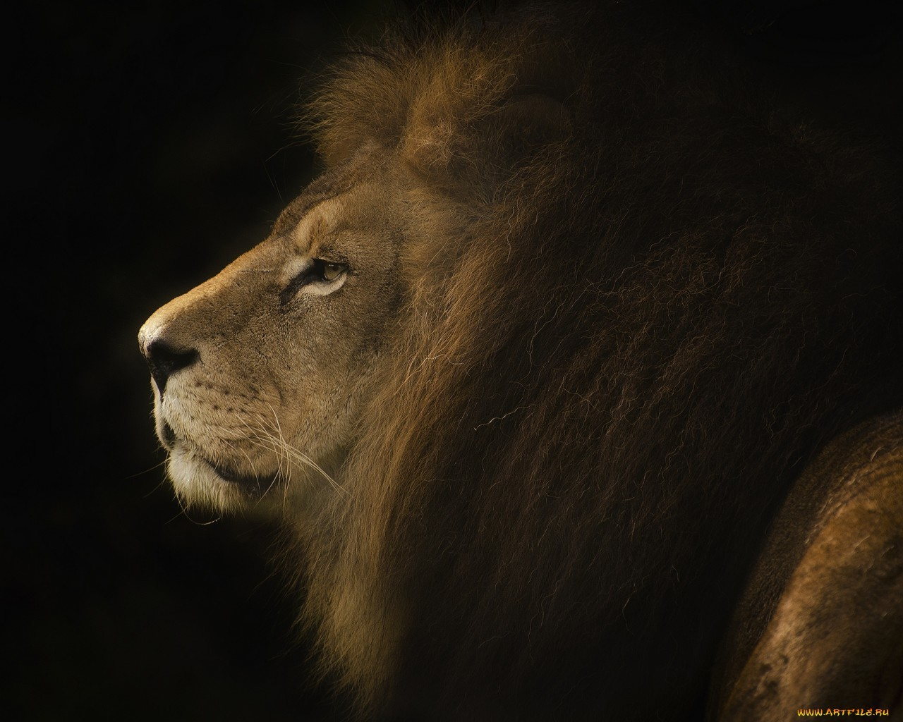 18468 download wallpaper Animals, Lions screensavers and pictures for free