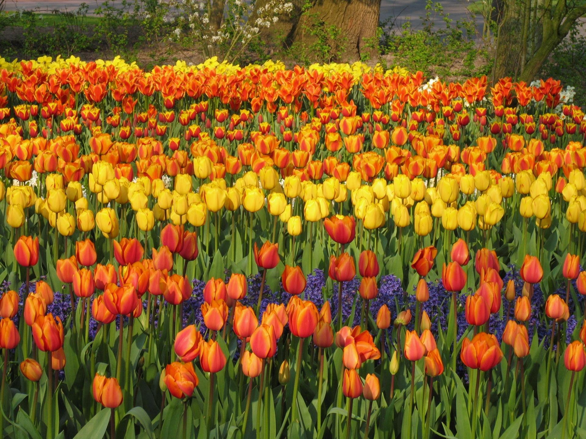 145933 Заставки и Обои Тюльпаны на телефон. Скачать Цветы, Гиацинты, Клумба, Парк, Весна, Тюльпаны картинки бесплатно