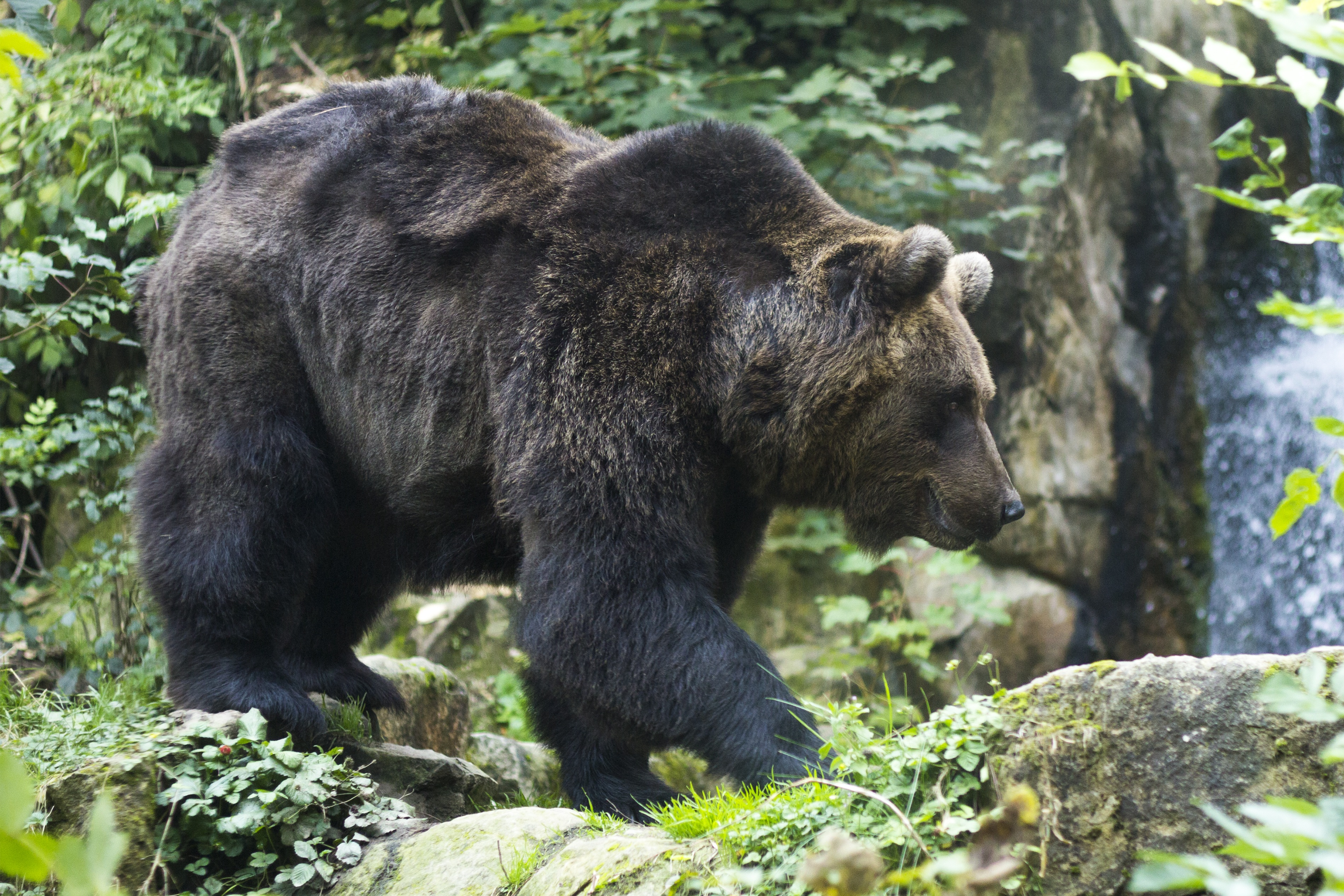 76564 Screensavers and Wallpapers Bear for phone. Download Animals, Bear, Stroll, Brown Bear pictures for free