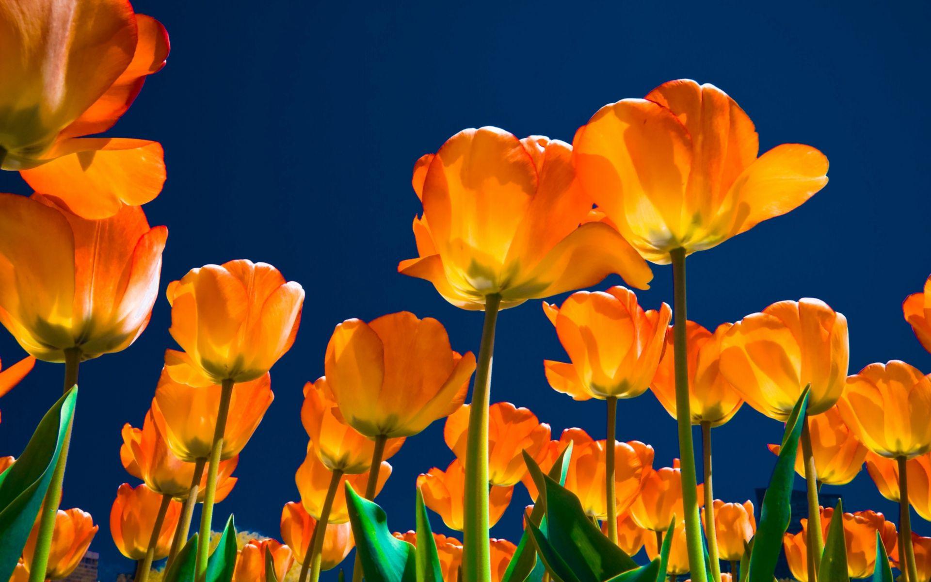 157702 descargar fondo de pantalla Flores, Noche, Cielo, Brillar, Luz, Lote, Mucho, Tulipanes: protectores de pantalla e imágenes gratis
