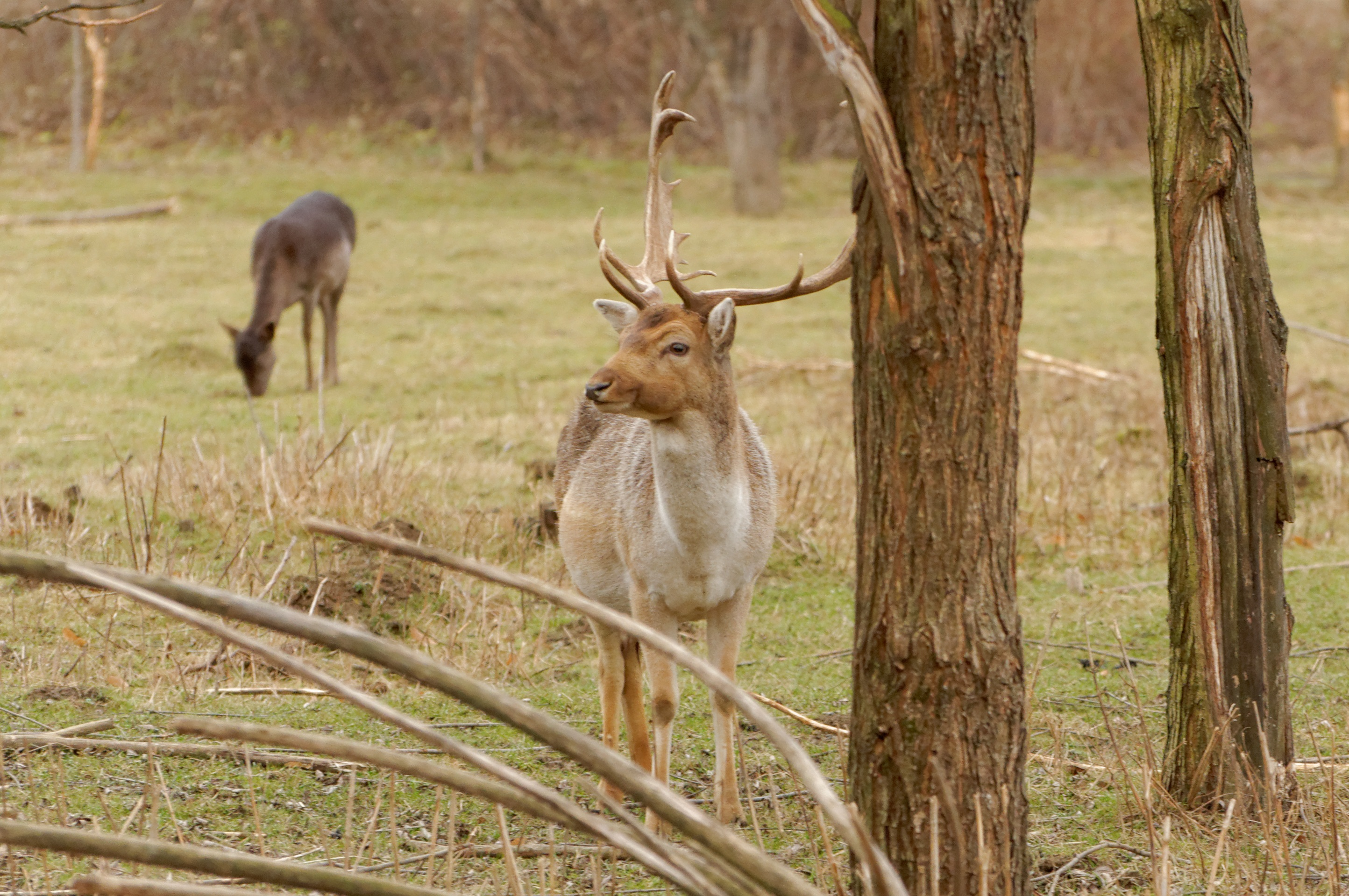 153114 download wallpaper Animals, Deers, Horns, Trees screensavers and pictures for free