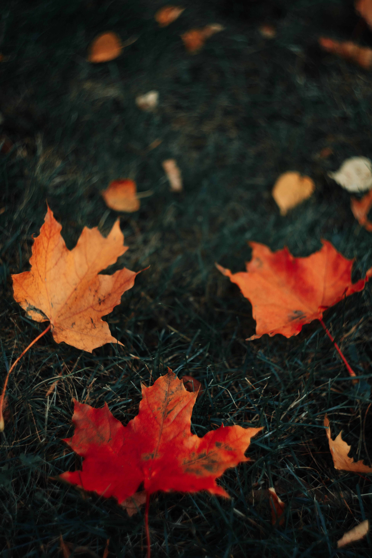 78337 скачать обои Макро, Листья, Клена, Трава, Осень - заставки и картинки бесплатно