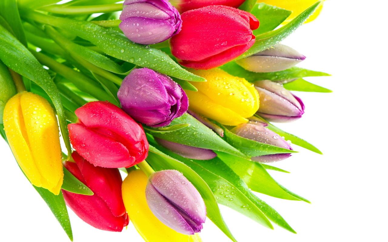 19593 скачать обои Растения, Цветы, Тюльпаны - заставки и картинки бесплатно