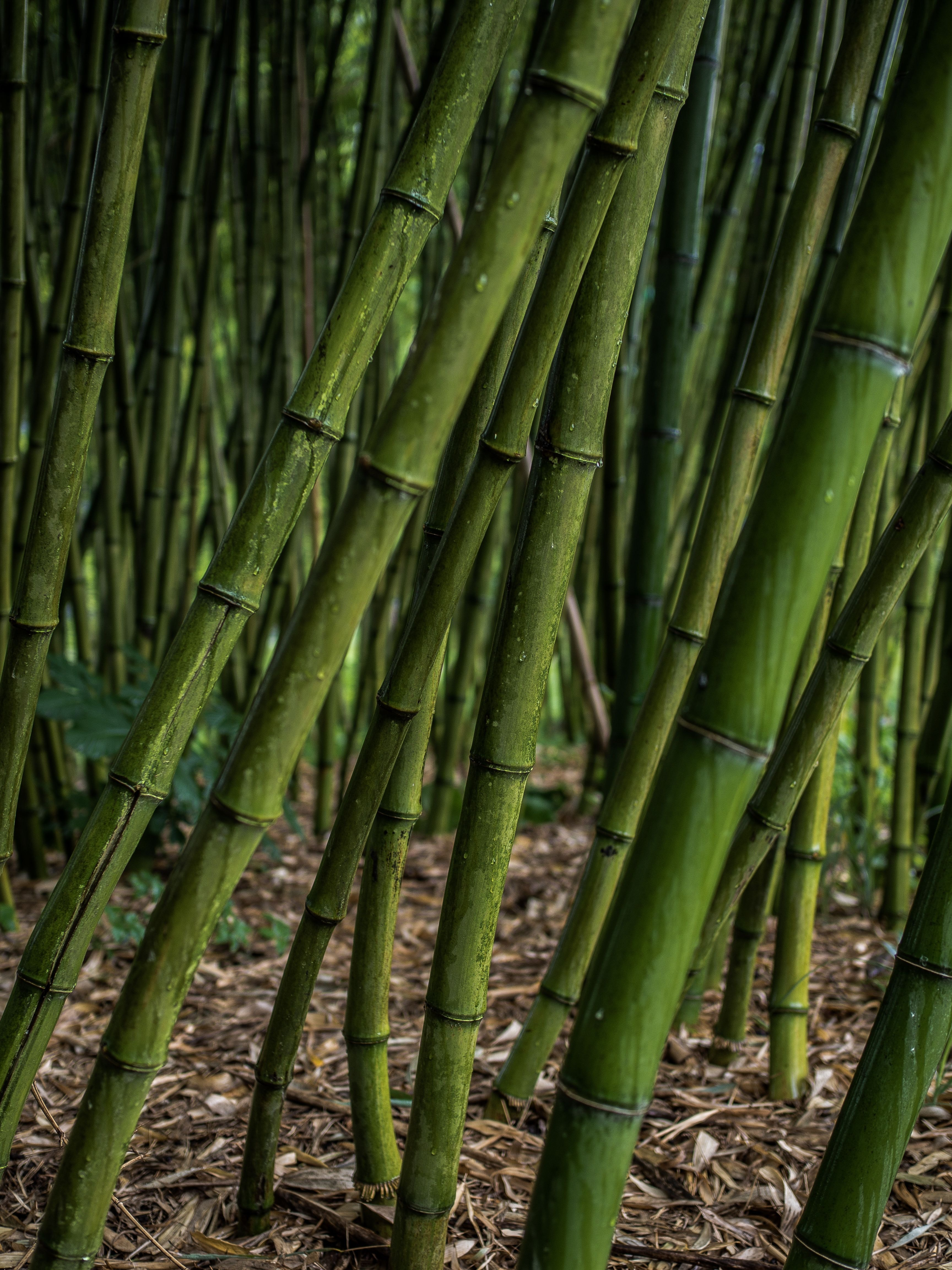 96206 download wallpaper Nature, Bamboo, Grove, Plants screensavers and pictures for free